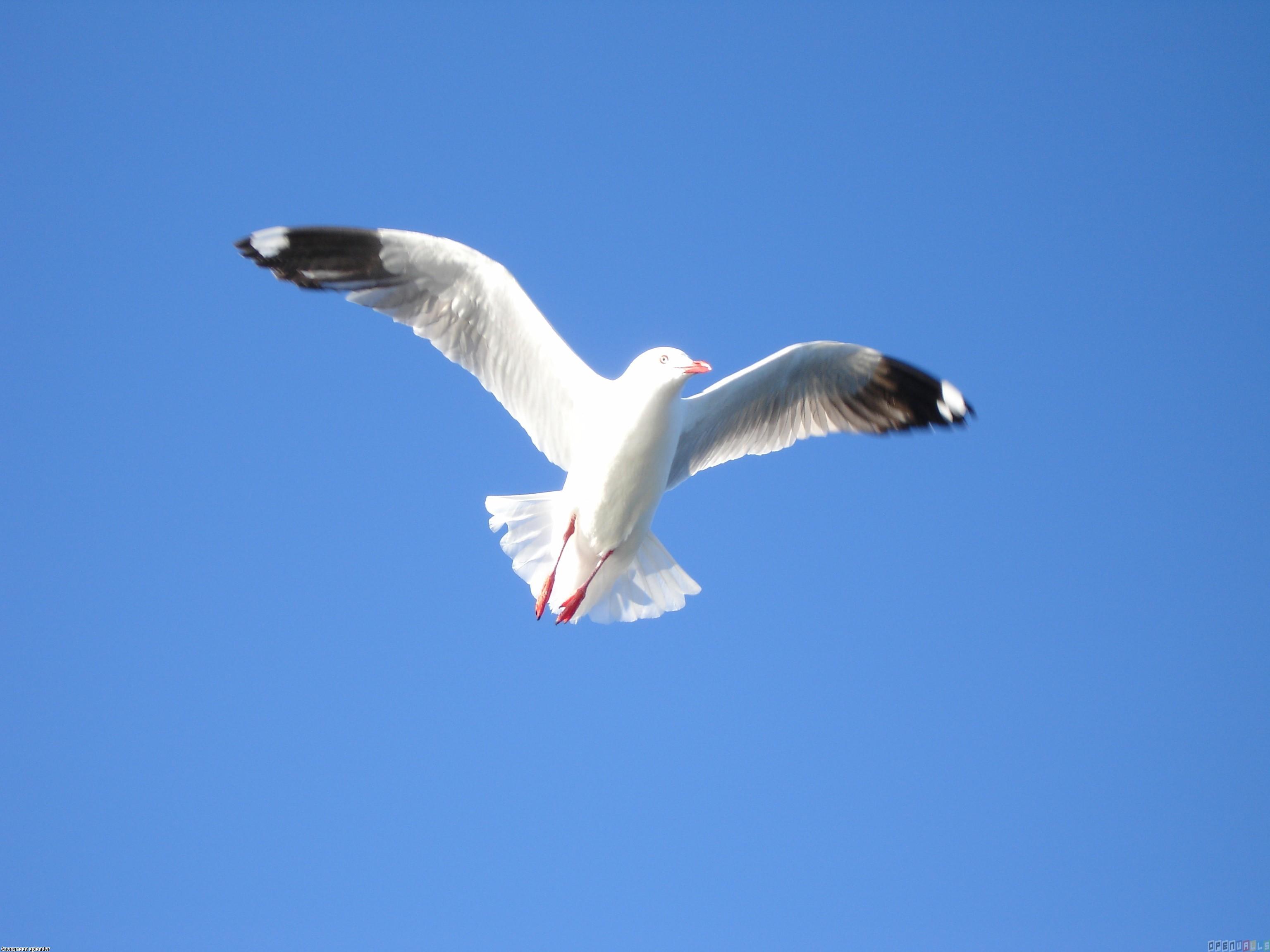 Seagull in flight photo