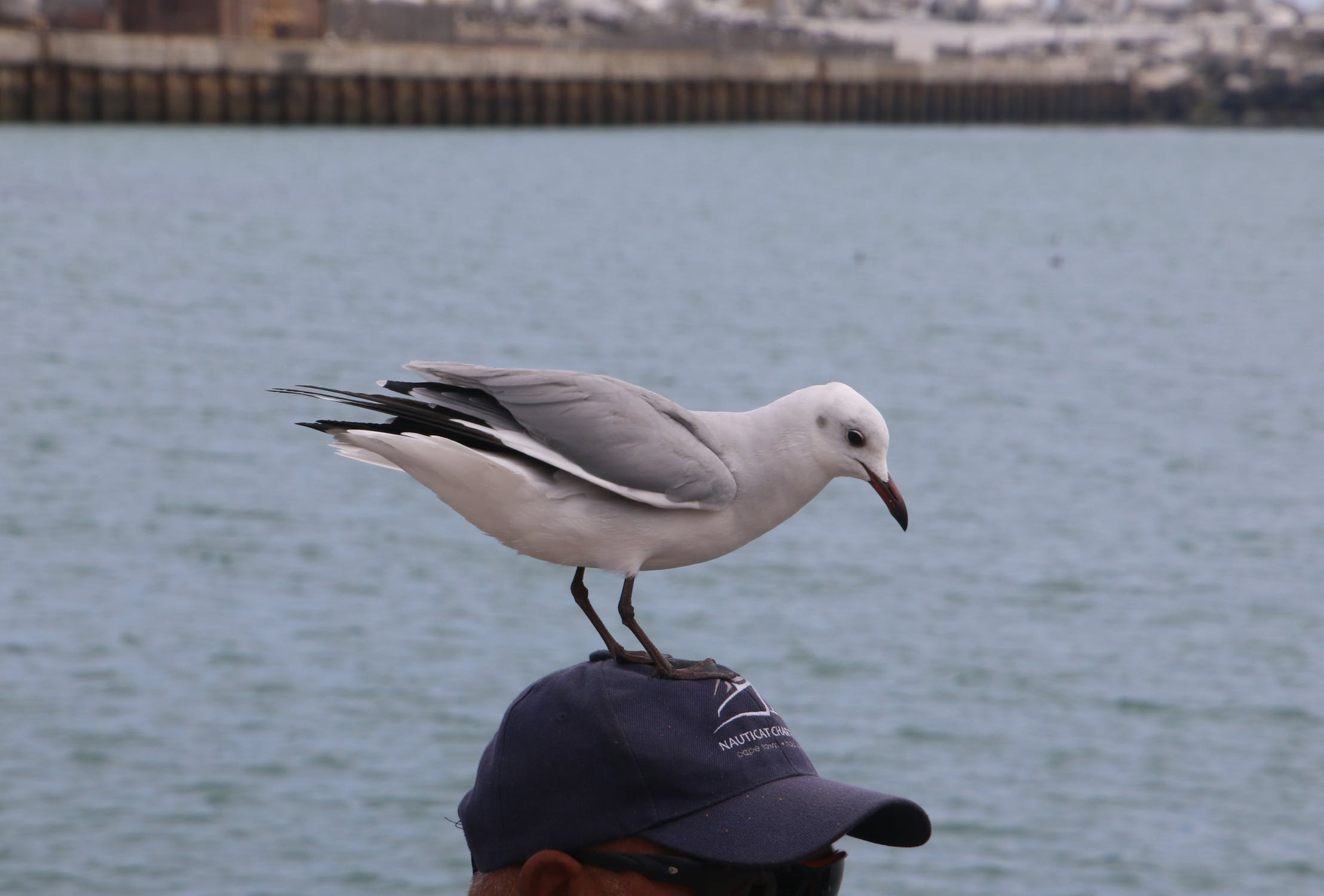 Seagull plays on the head photo