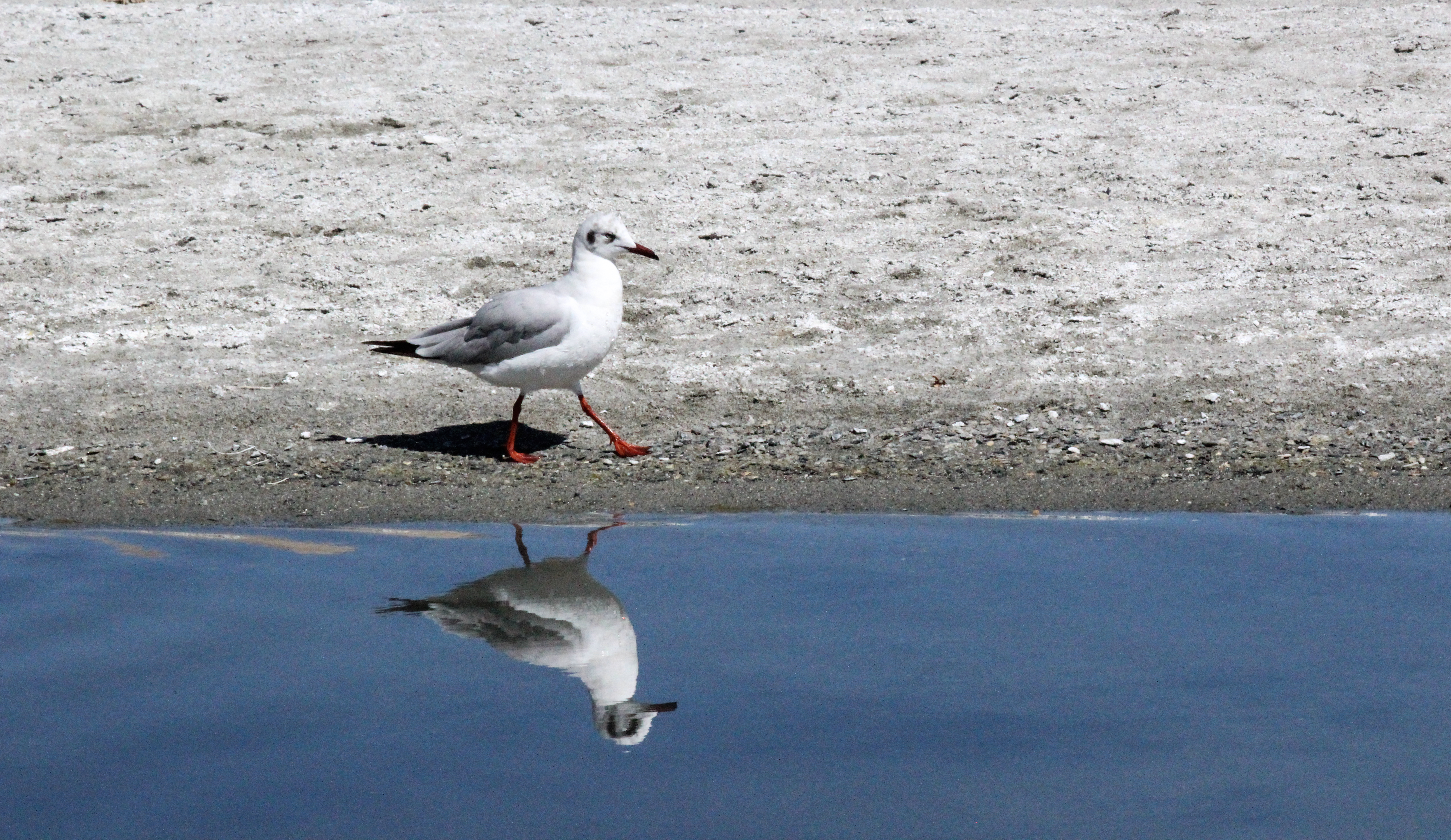 Seagull reflection photo