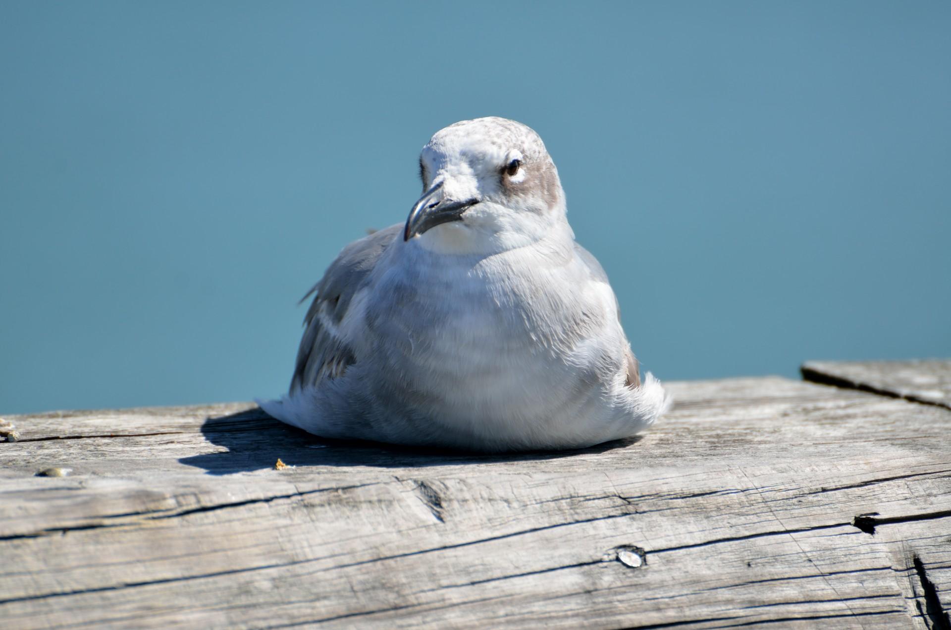 Seagull resting photo