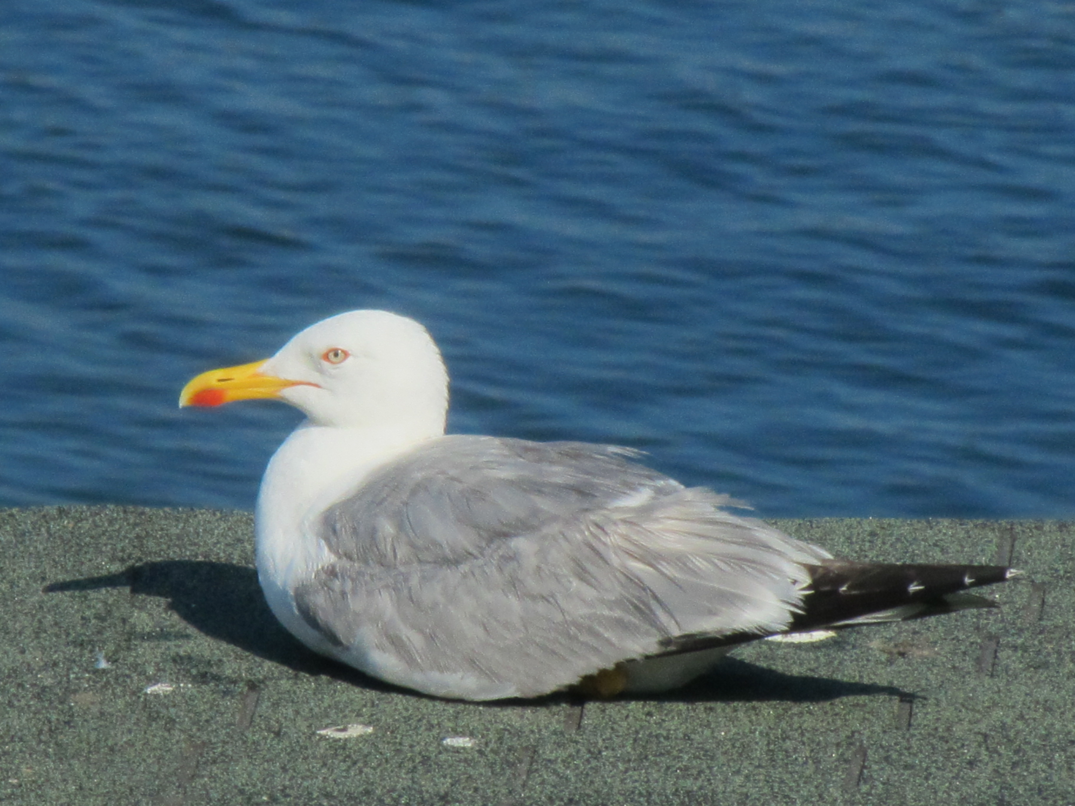 Seagull resting by the sea photo