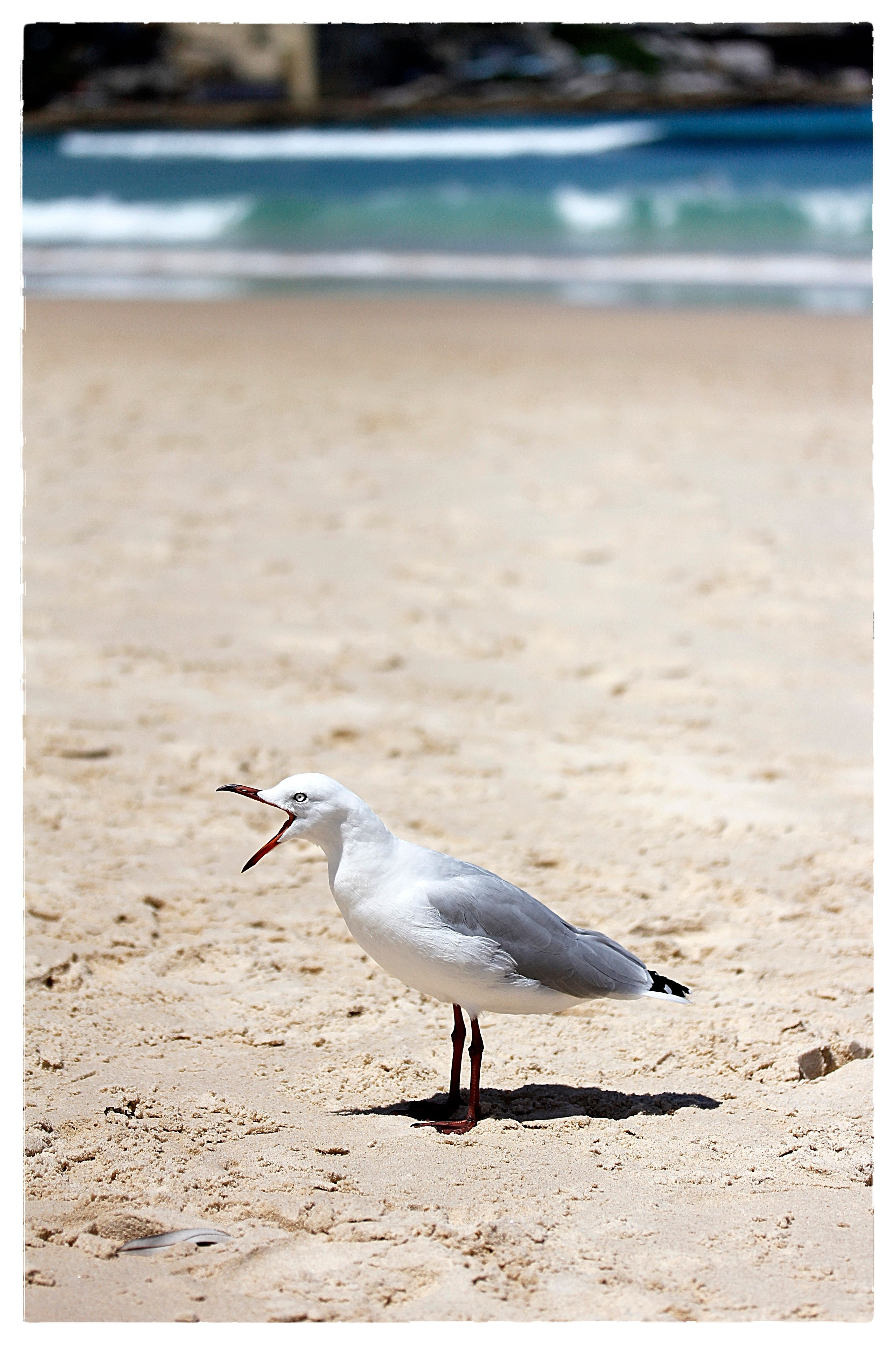Seagull singing photo