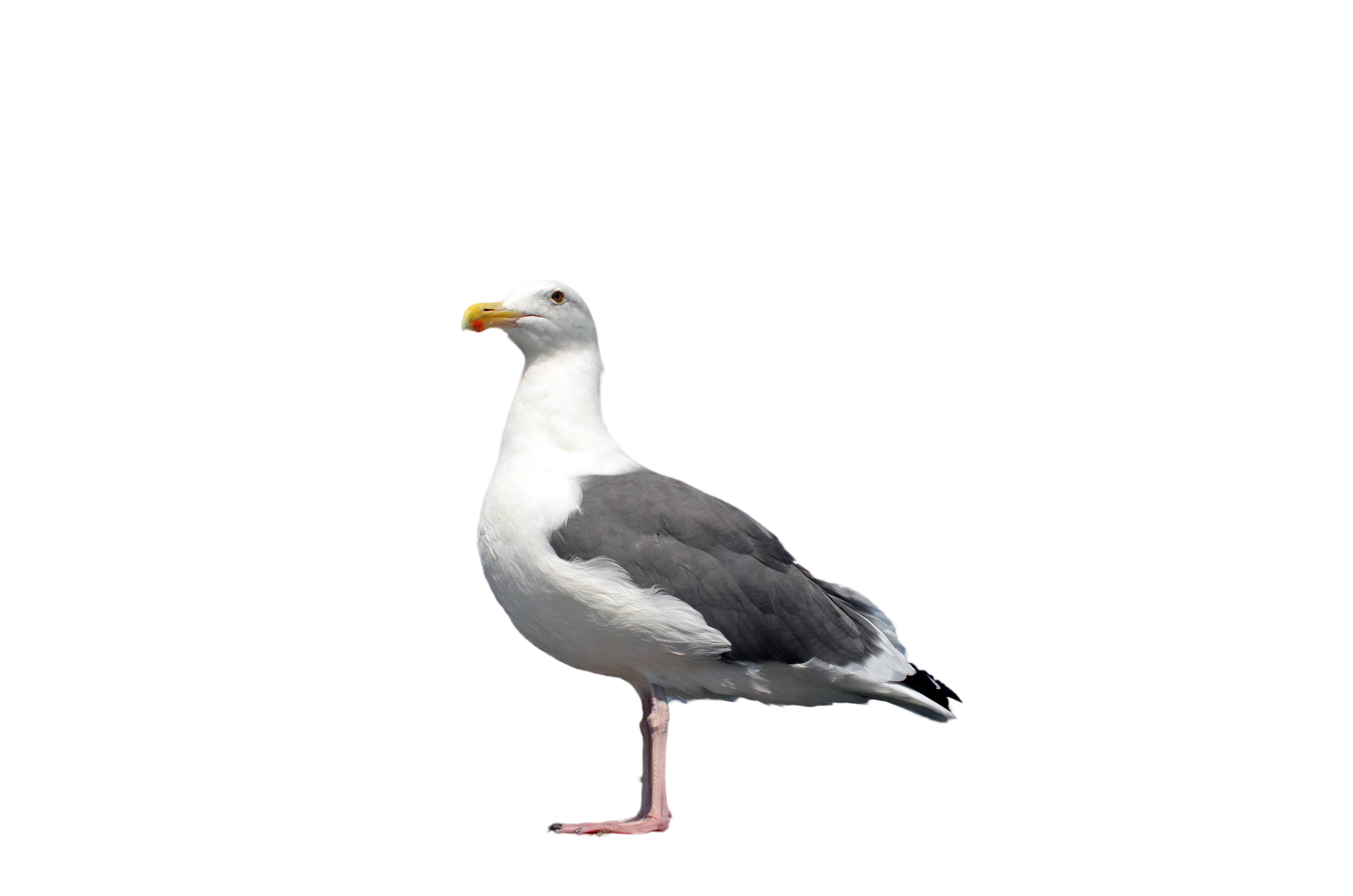 Seagull standing photo