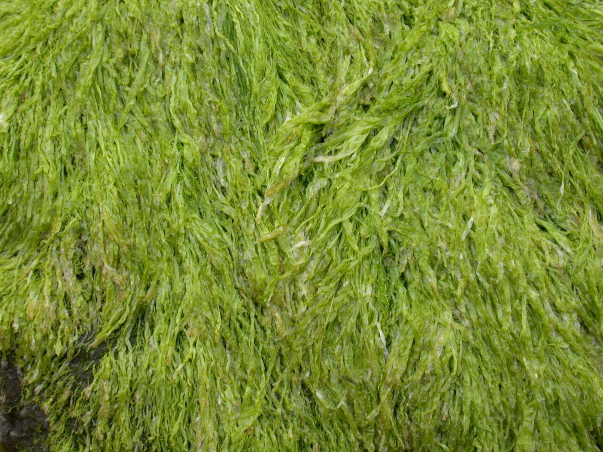 Seaweed texture photo