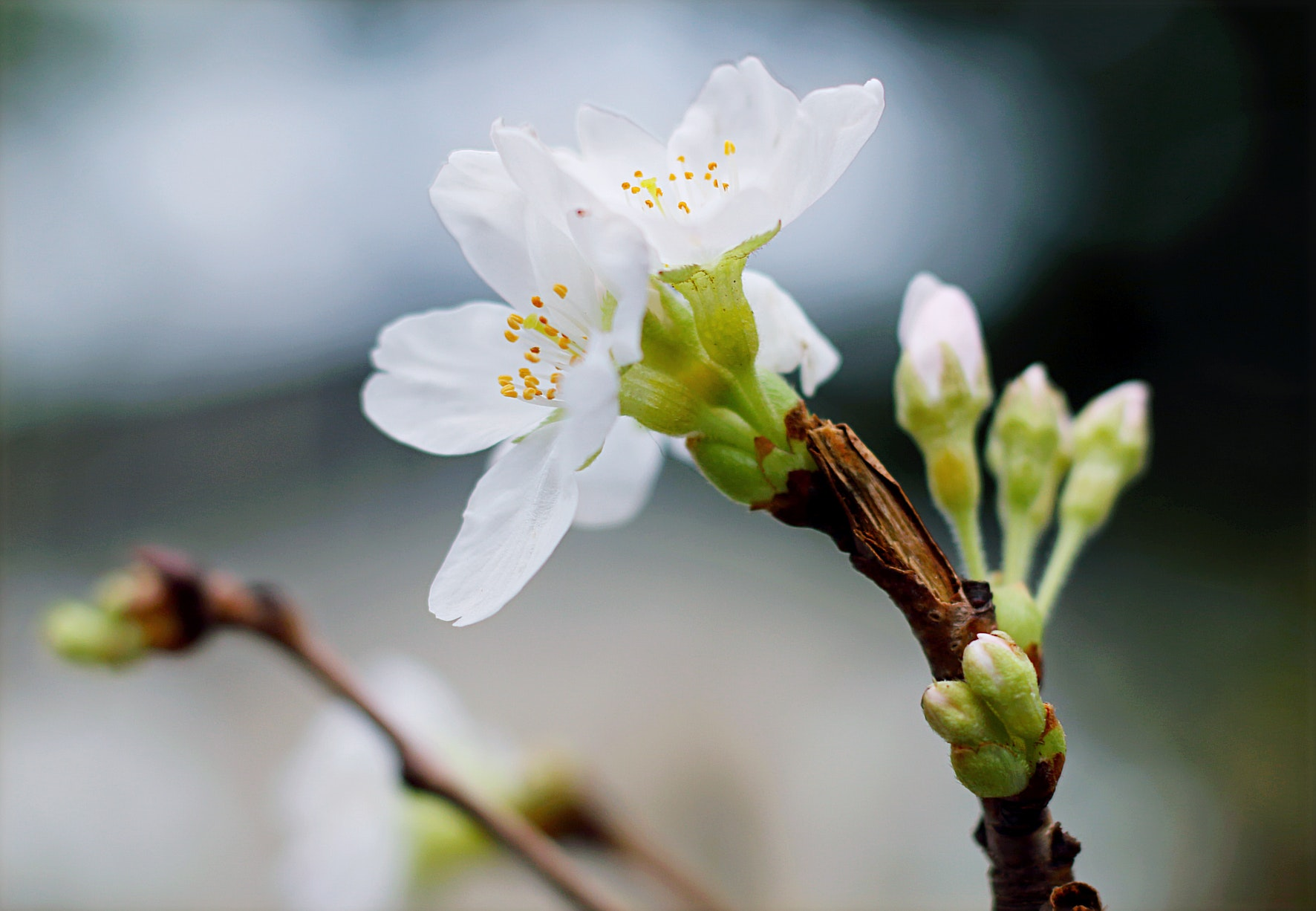 Selective Focus Of White Clustered Flowers, Bloom, Blossom, Delicate, Flora, HQ Photo