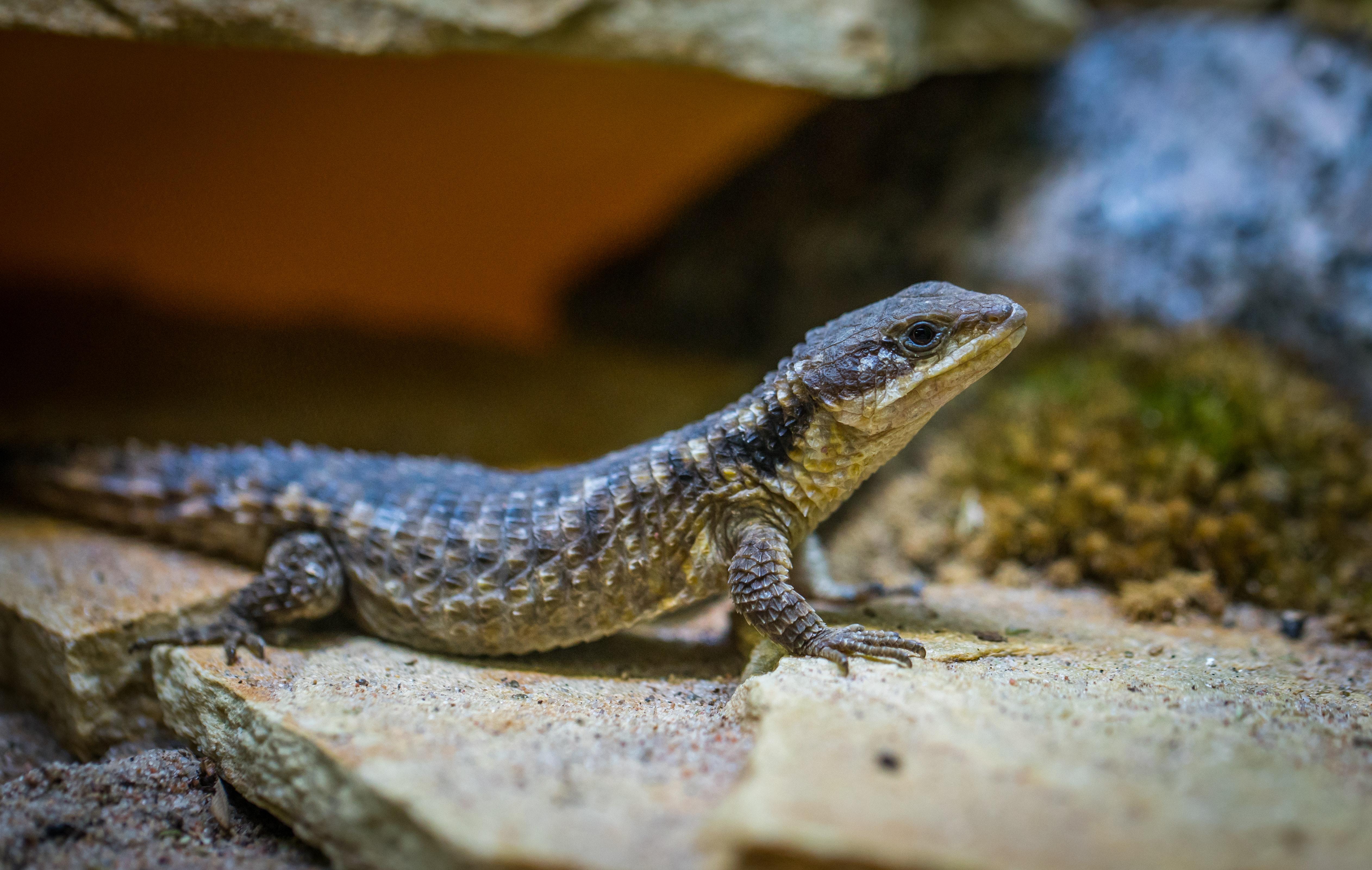 Selective Focus Photo of Black Lizard on Gray Surface, Animal, Portrait, Wildlife, Wild, HQ Photo