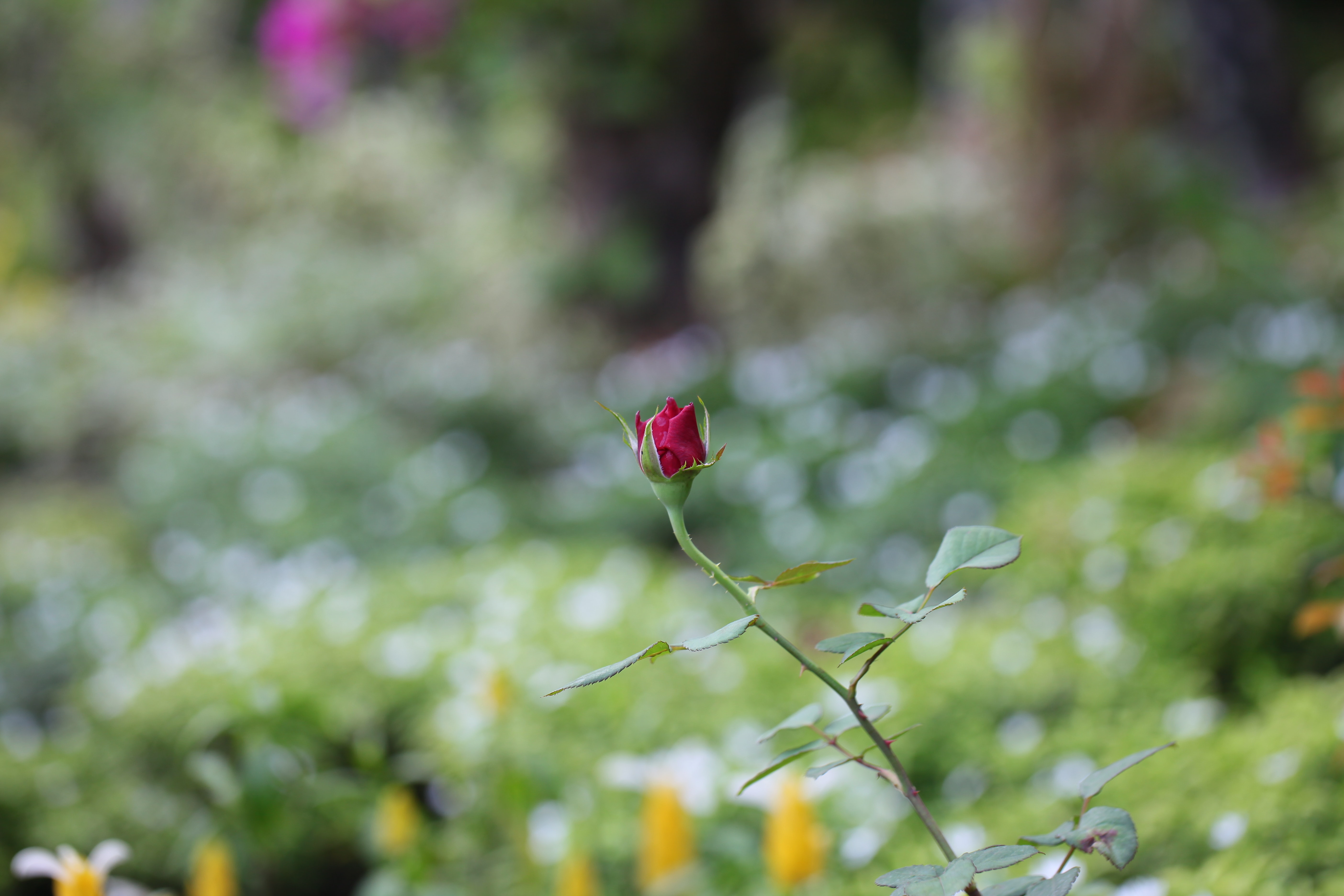 Selective focus photography of a red rose bud