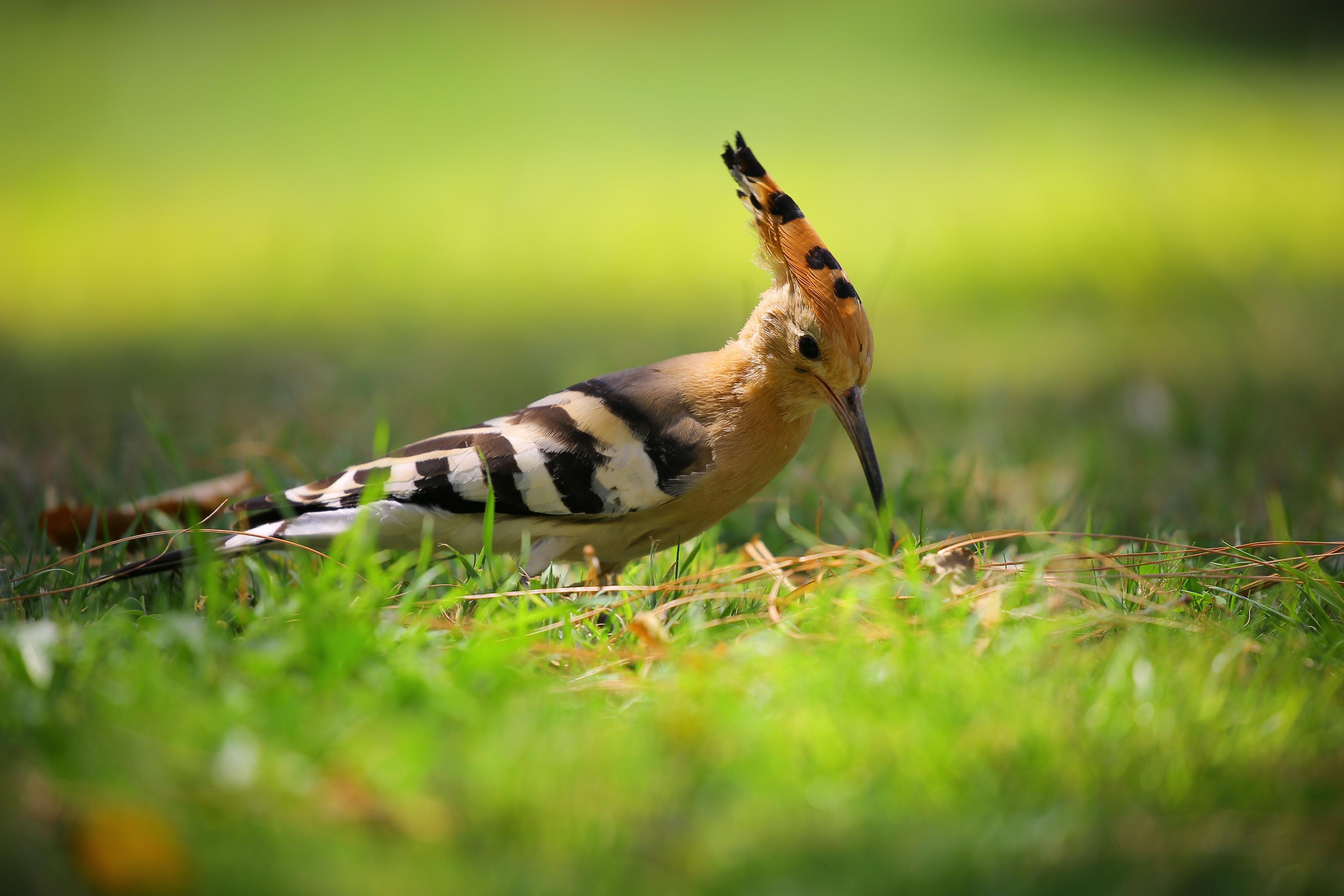 Selective Focus Photography of Brown Black and White Long Beak Bird on Green Grass, Animal, Avian, Bird, Cute, HQ Photo