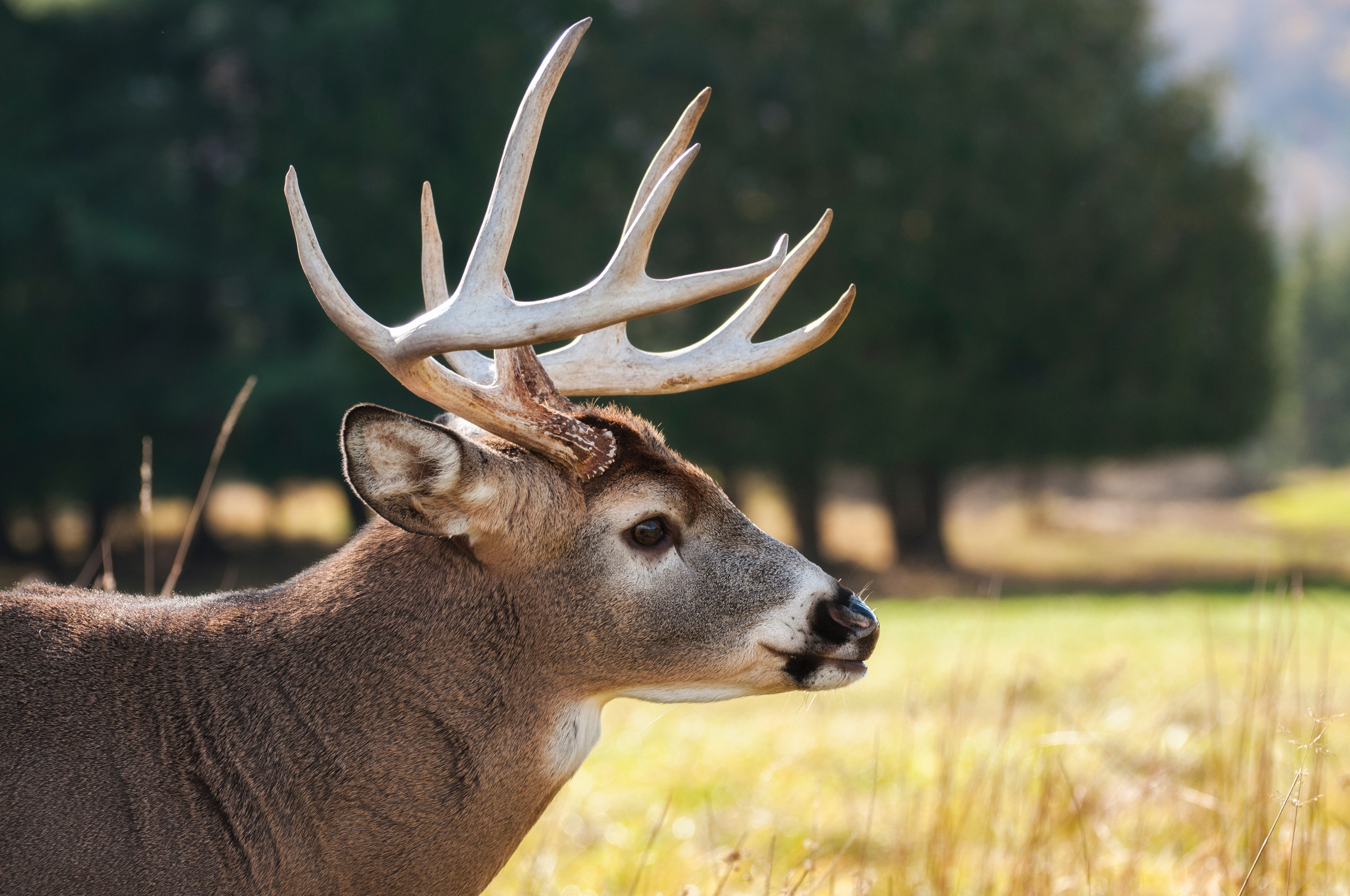 Selective focus photography of brown buck on grass field