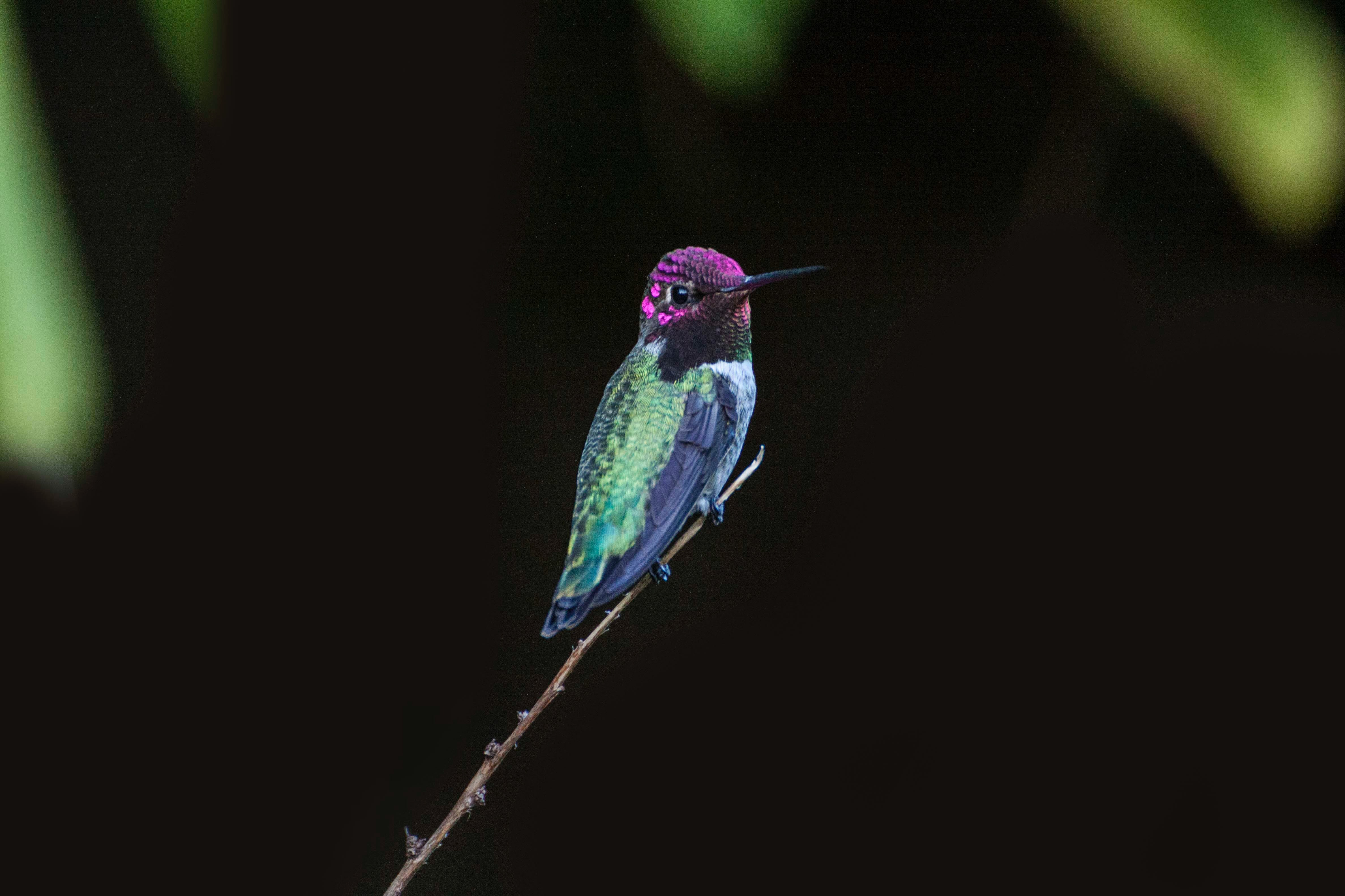 Selective focus photography of green and purple hummingbird