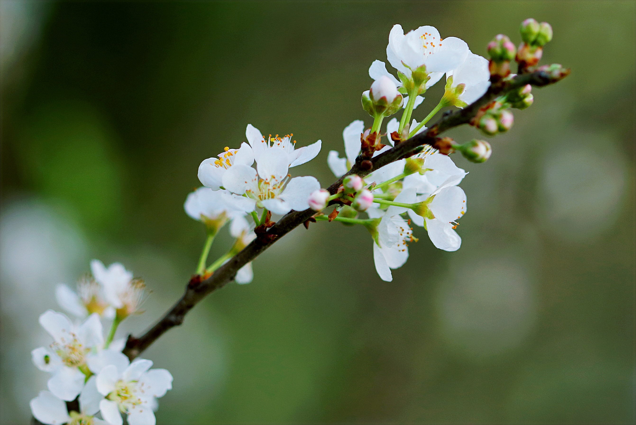 Selective Focus Photography of White Cherry Blossoms, Beautiful, Flowers, Stem, Petals, HQ Photo