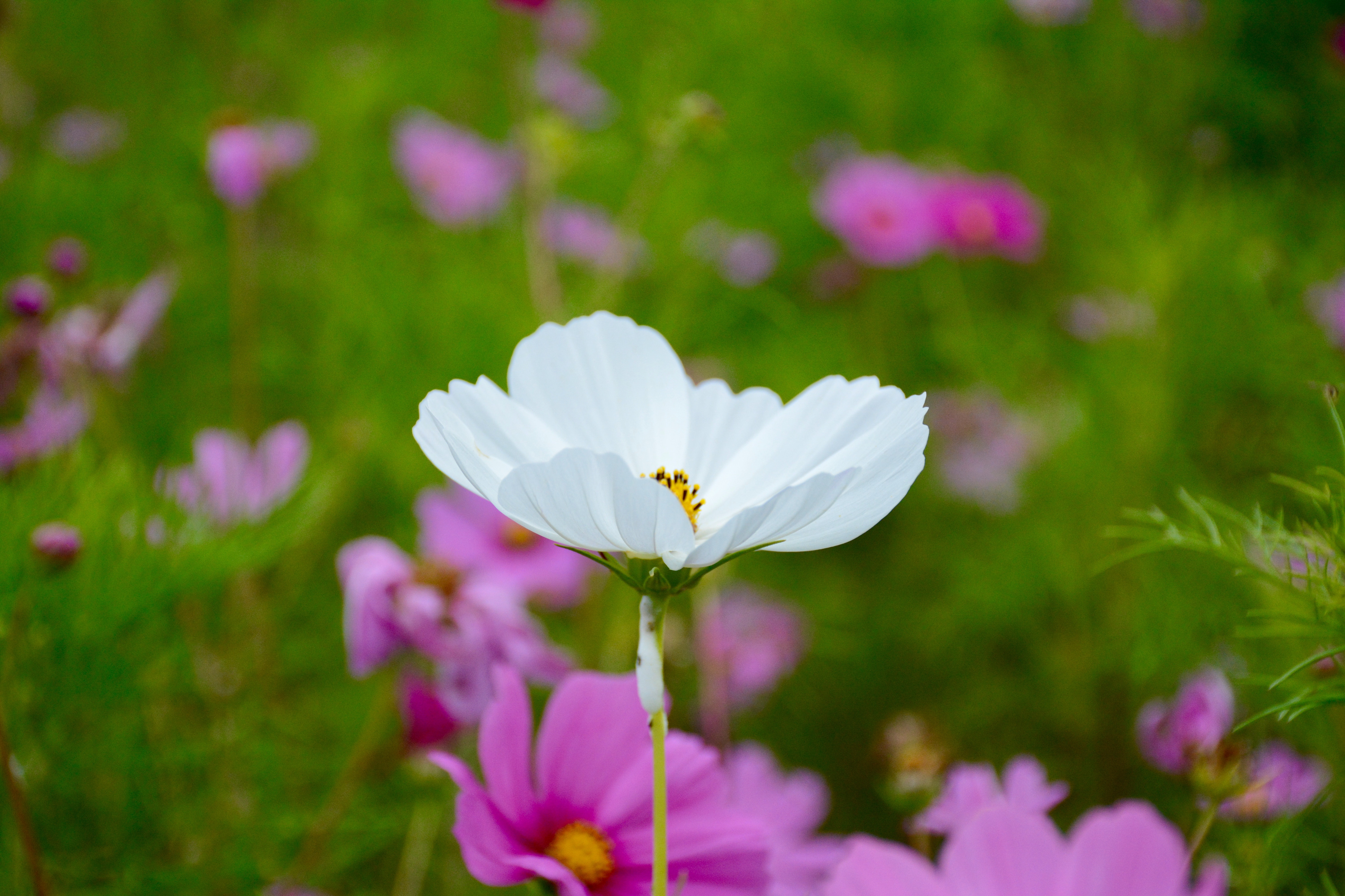 Selective Focus Photography of White Petaled Flower, Beautiful, Grass, White, Stem, HQ Photo