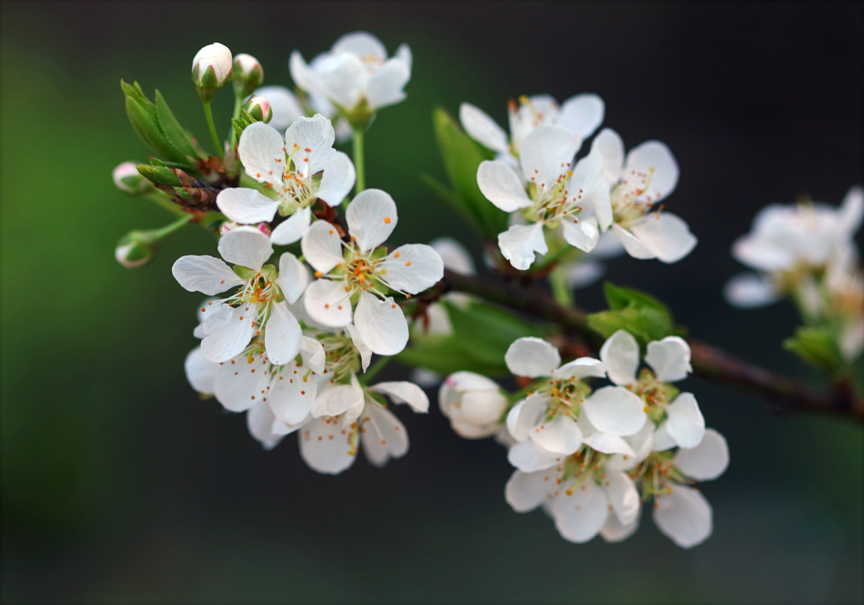 Free Photo Selective Focus Photography Of White Petaled Flowers Use In Macro For Dummies Nature Petal Plum Blossom