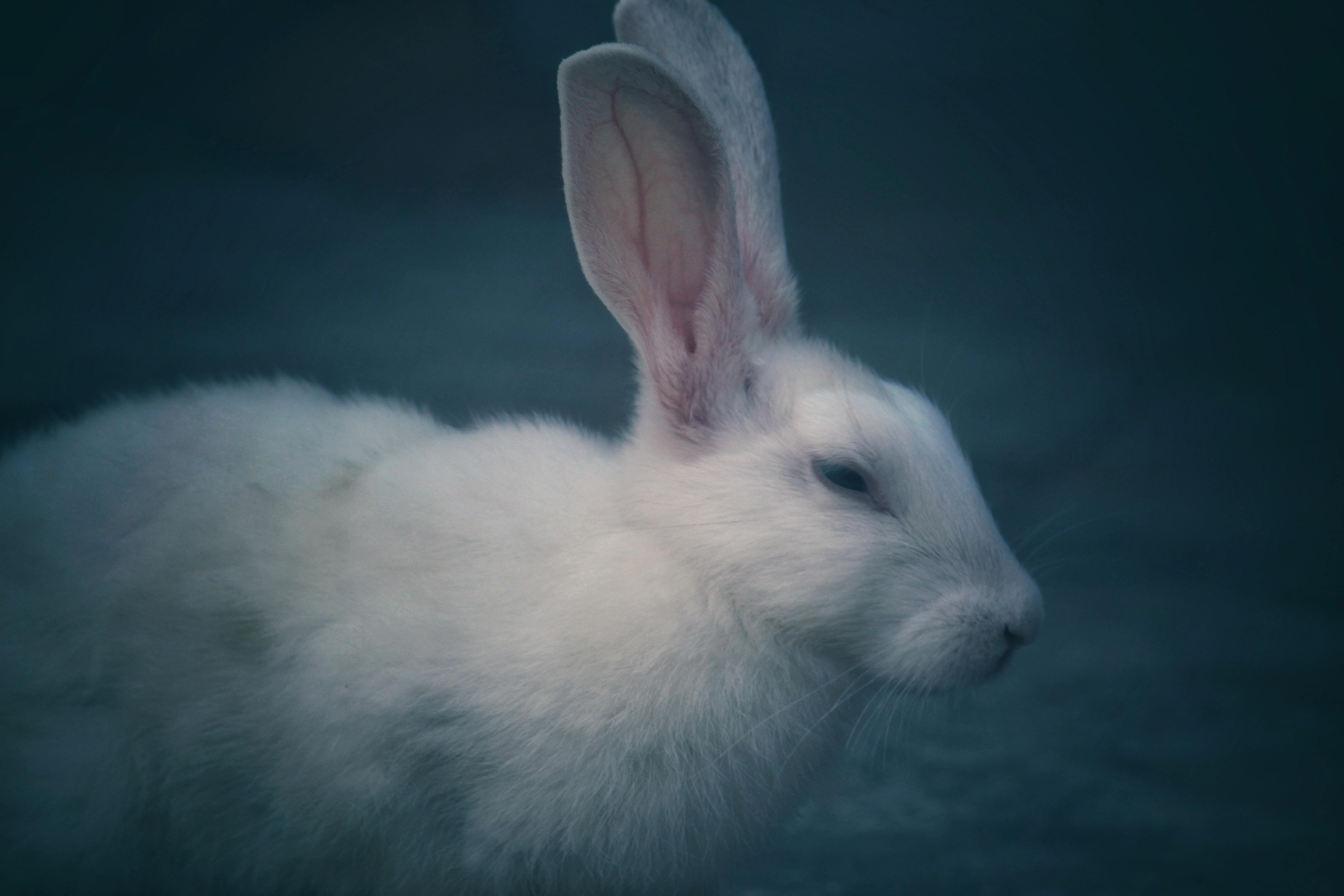 Selective Focus Photography of White Rabbit, Animal, Outdoors, Wild, White, HQ Photo