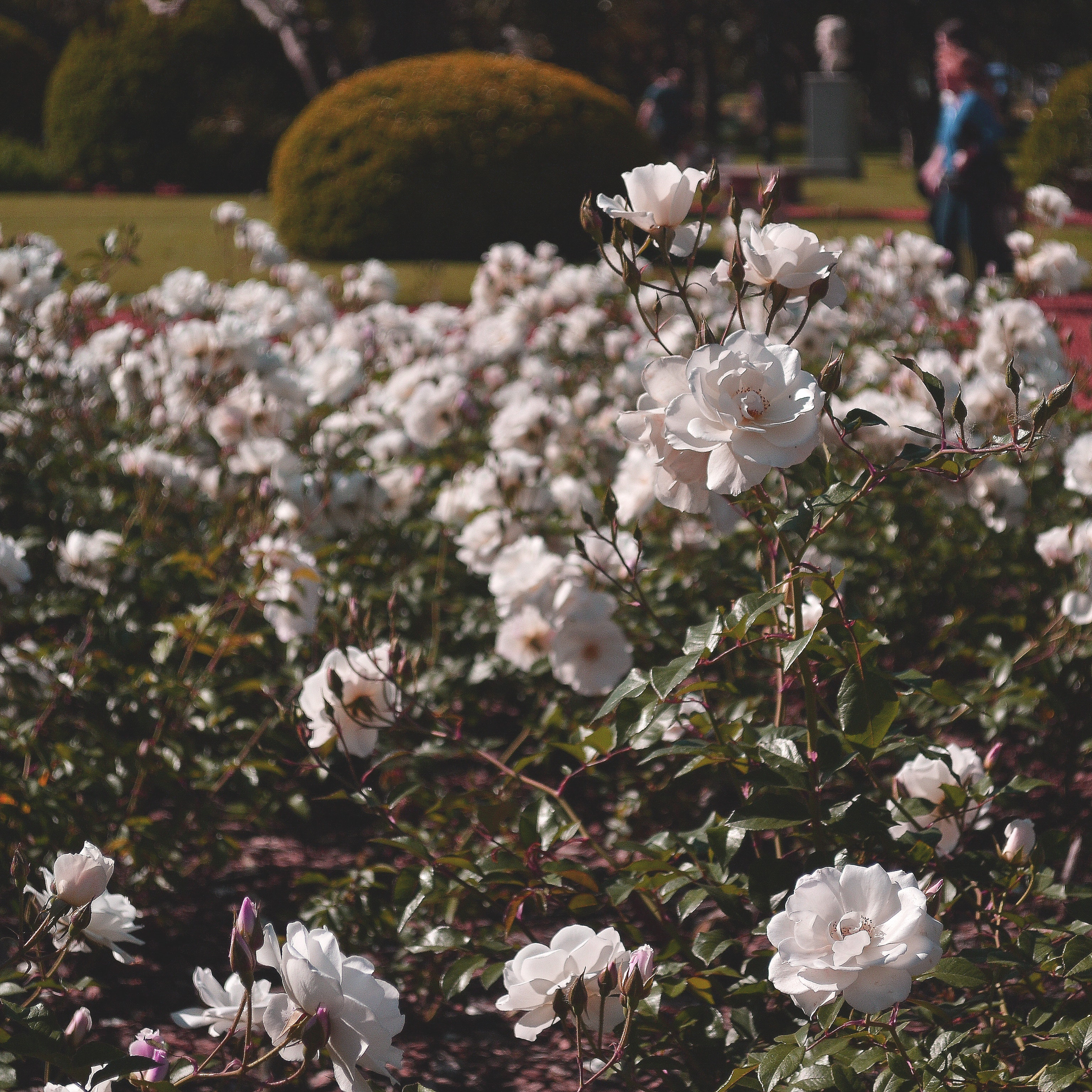Selective Focus Photography of White Roses, People, Plants, Park, Nature, HQ Photo