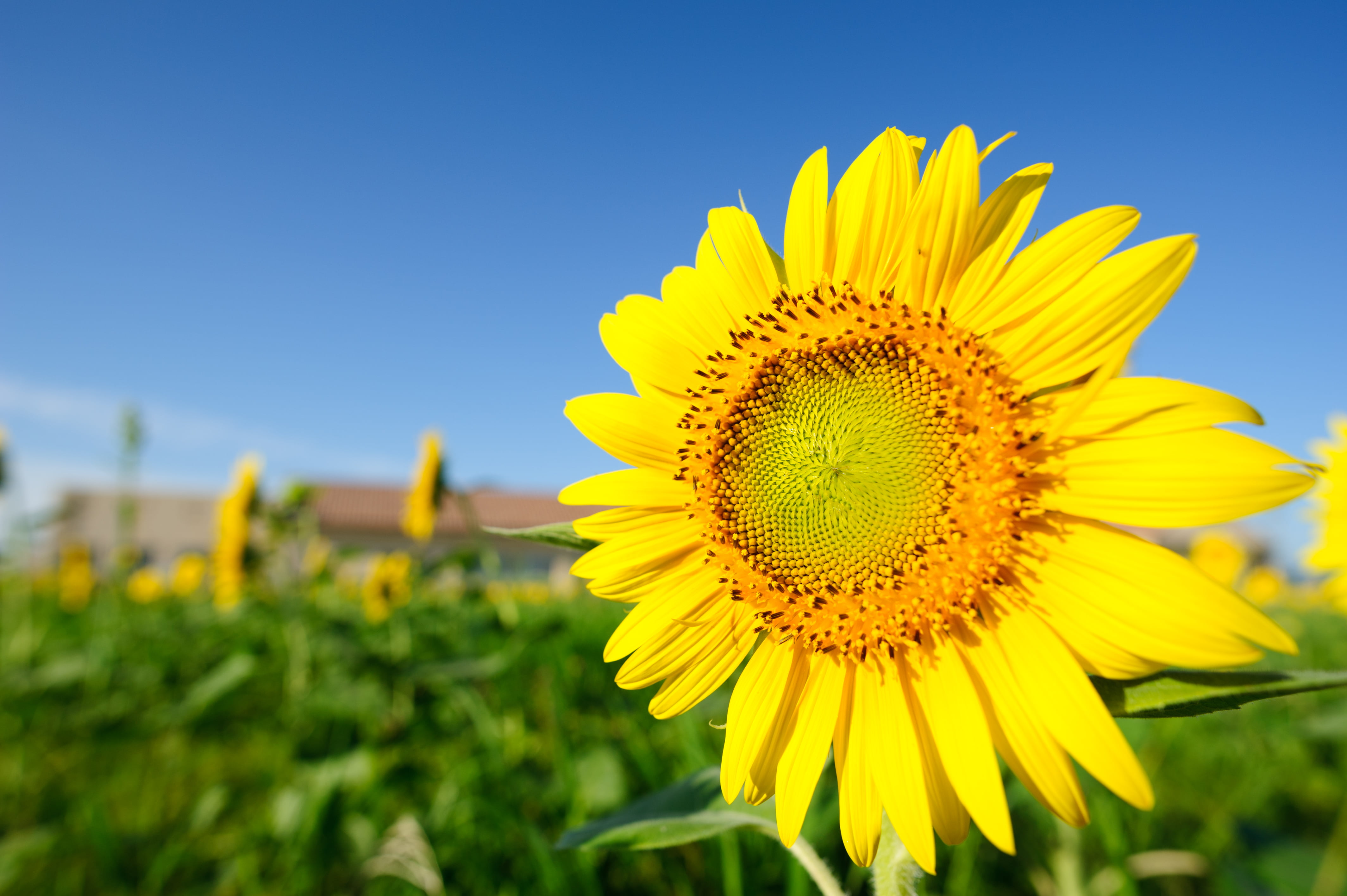 Selective focus photography of sunflower HD wallpaper | Wallpaper Flare