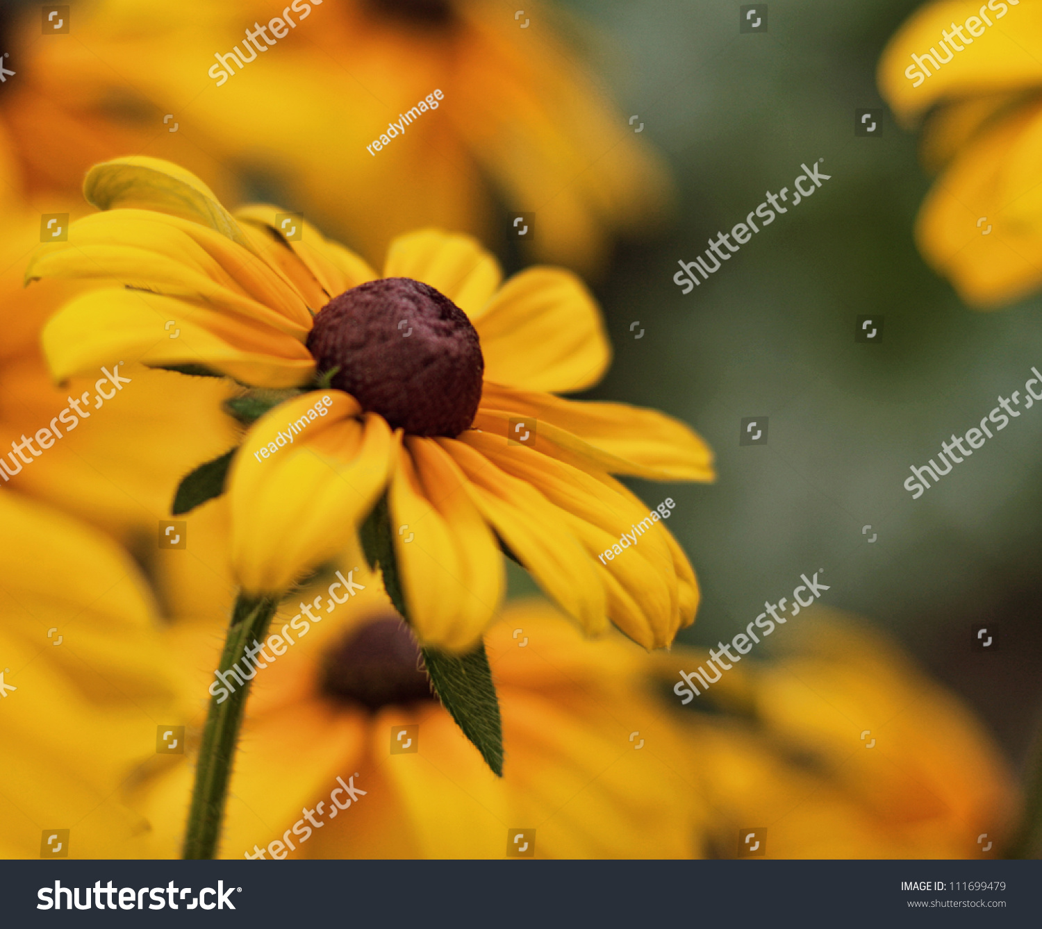 Blackeyed Susan Flower Very Shallow Depth Stock Photo 111699479 ...
