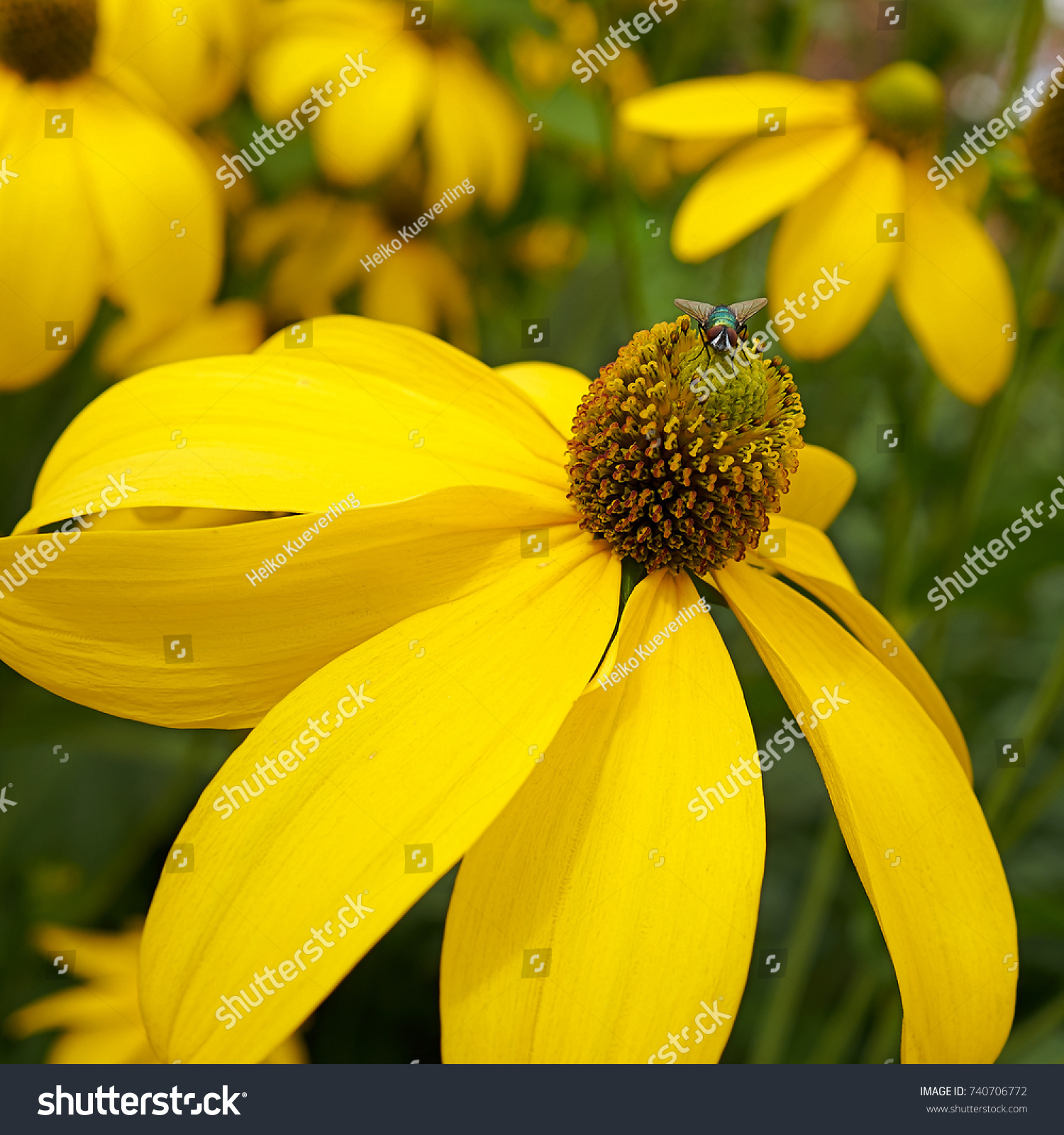 Yellow Flower Fly Summer Stock Photo 740706772 - Shutterstock