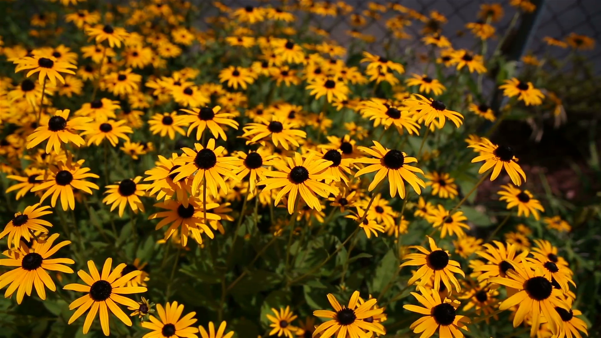 Black Eyed Susan Dollies. an above shot of a group of black-eyed ...