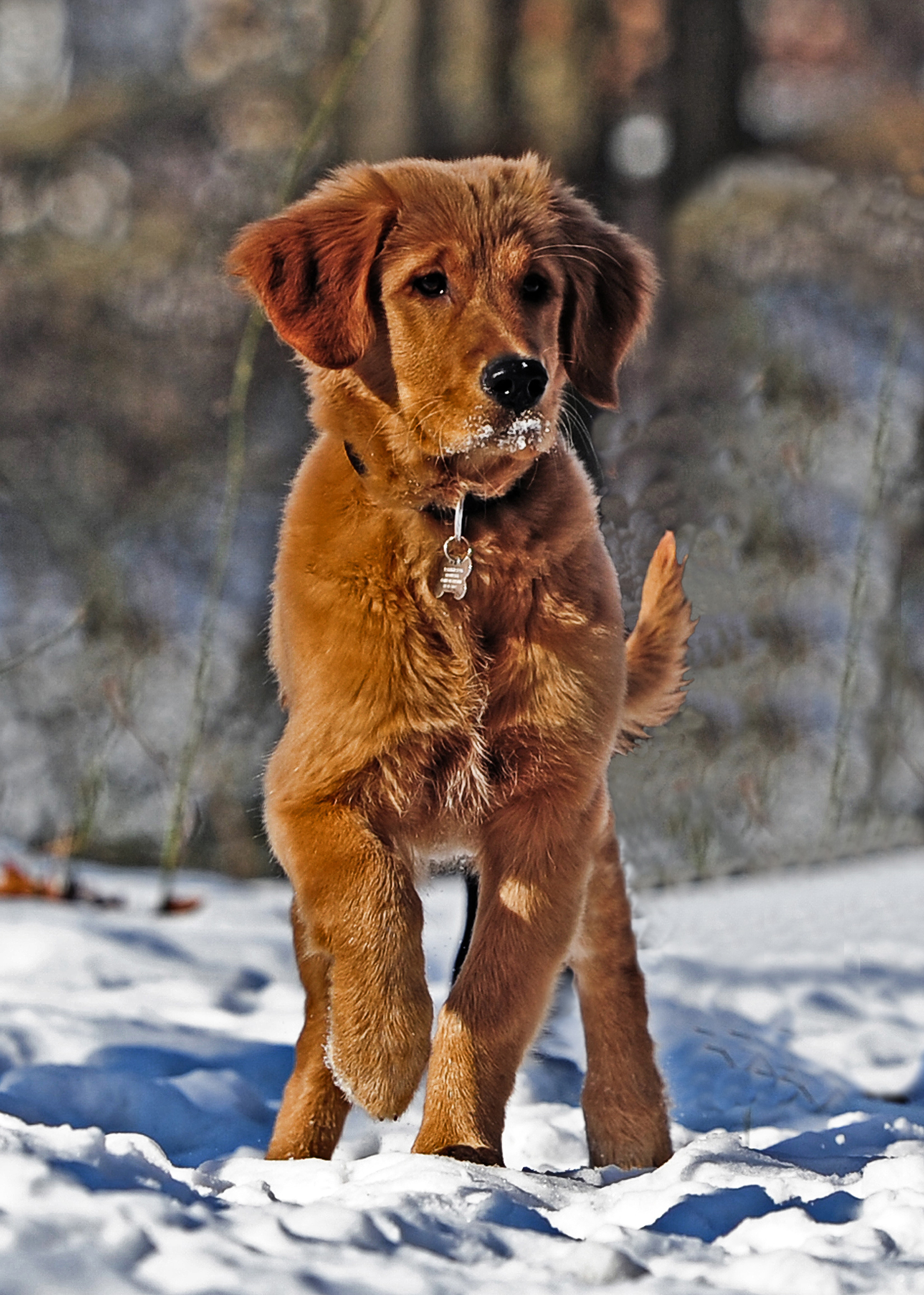 Selective Photo of Dark Golden Retriever Puppy Stands on Snowfield, Adorable, Fur, Winter, Snowy, HQ Photo
