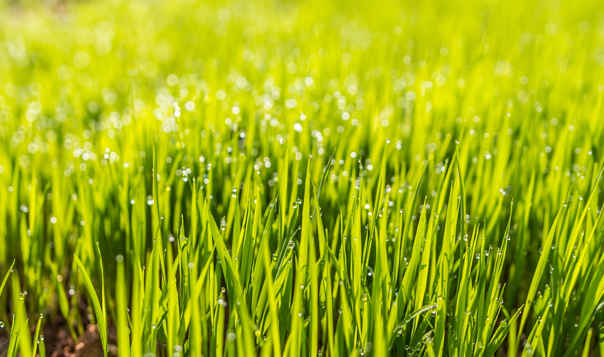 Selective Photo of Green Grass, Dew, Field, Grass, Green, HQ Photo