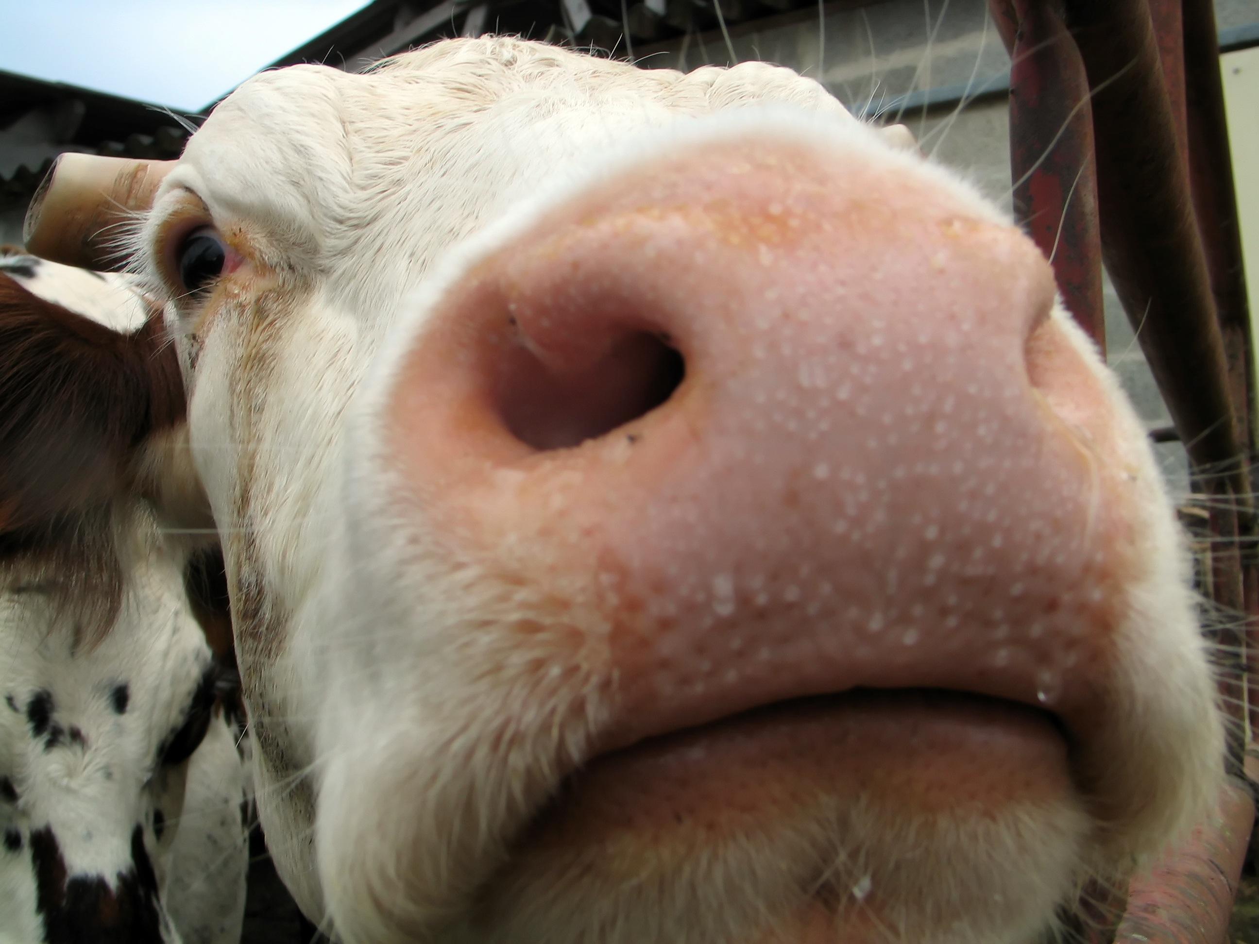 Selfie, Animal, Caption, Cow, Farm, HQ Photo