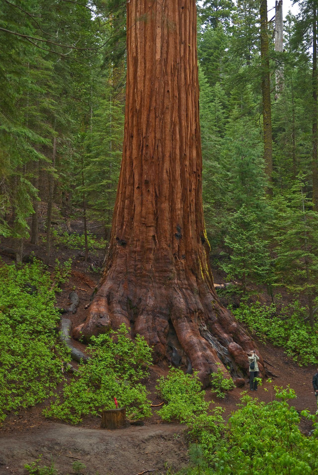 Coast Redwood (Sequoia sempervirens) Bigfoot tree :) - Sequoia ...