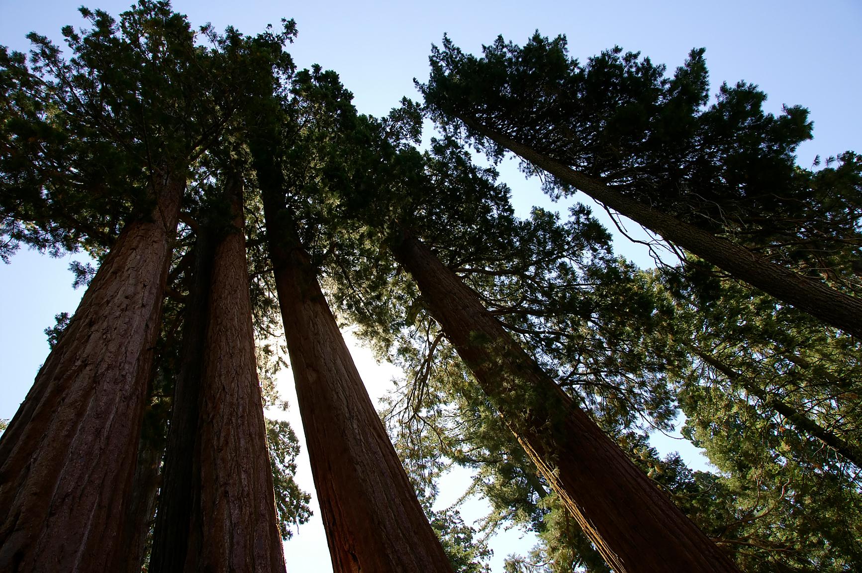 Sequoia Row, Summer, Row, Sequoia, Sequoias, HQ Photo