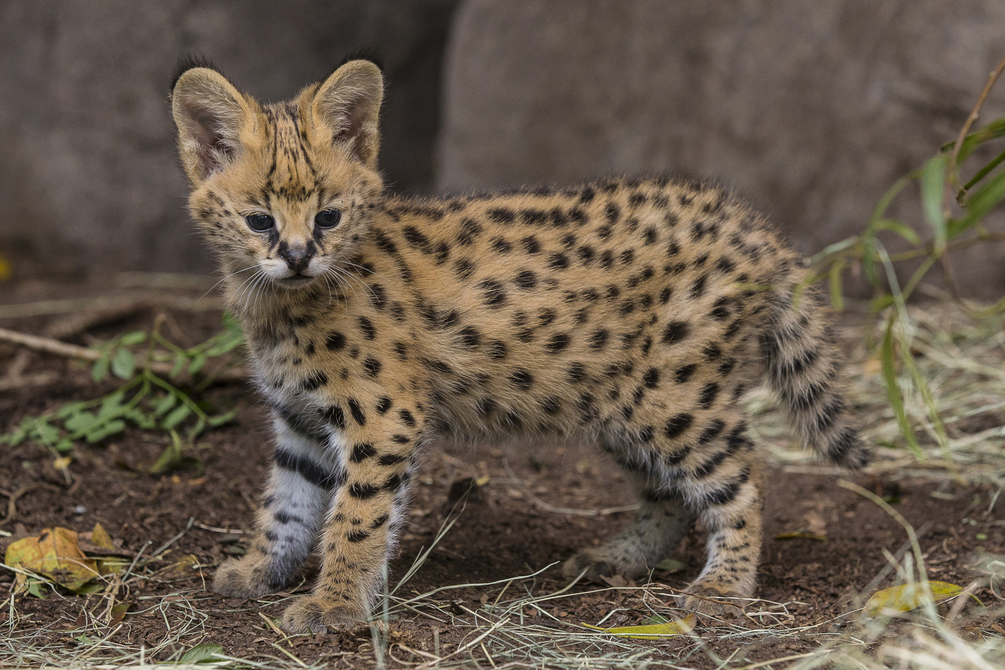 Hello, Kitty! Serval Kitten Makes His Public Debut at San Diego Zoo ...