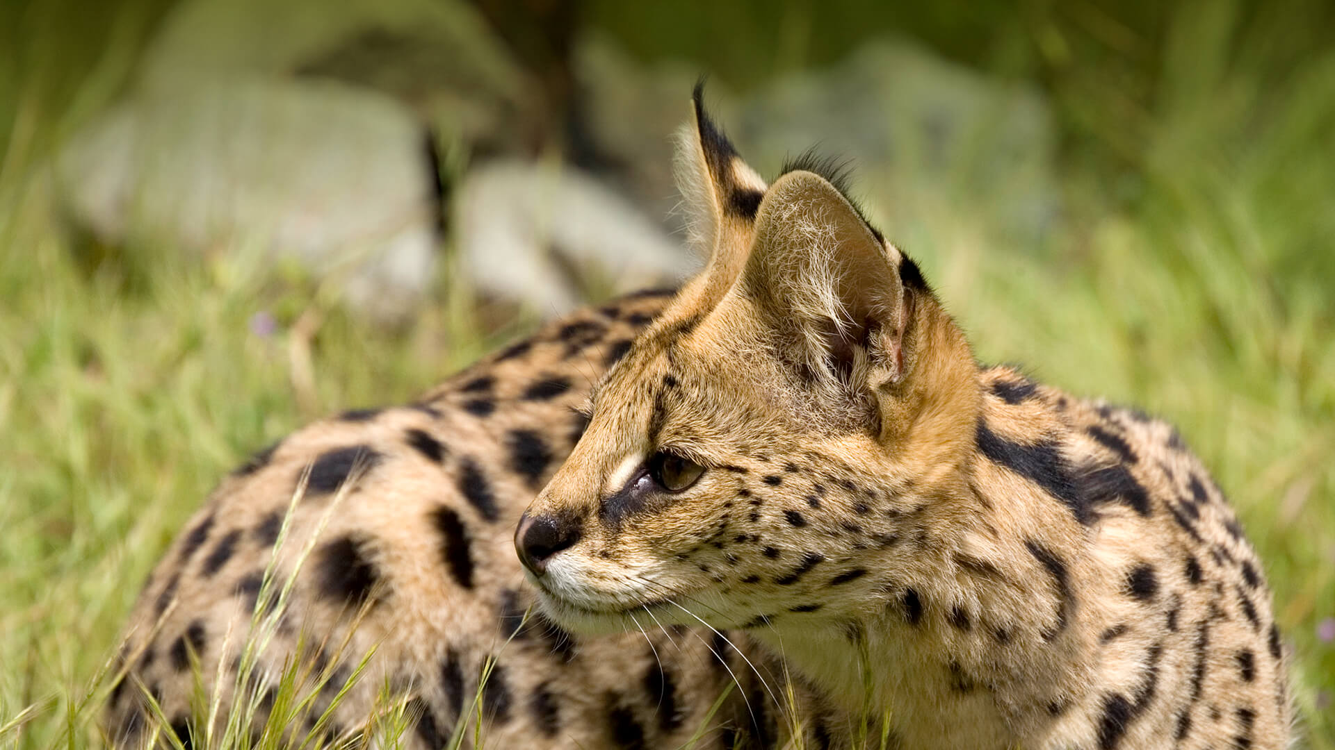 Serval | San Diego Zoo Animals & Plants