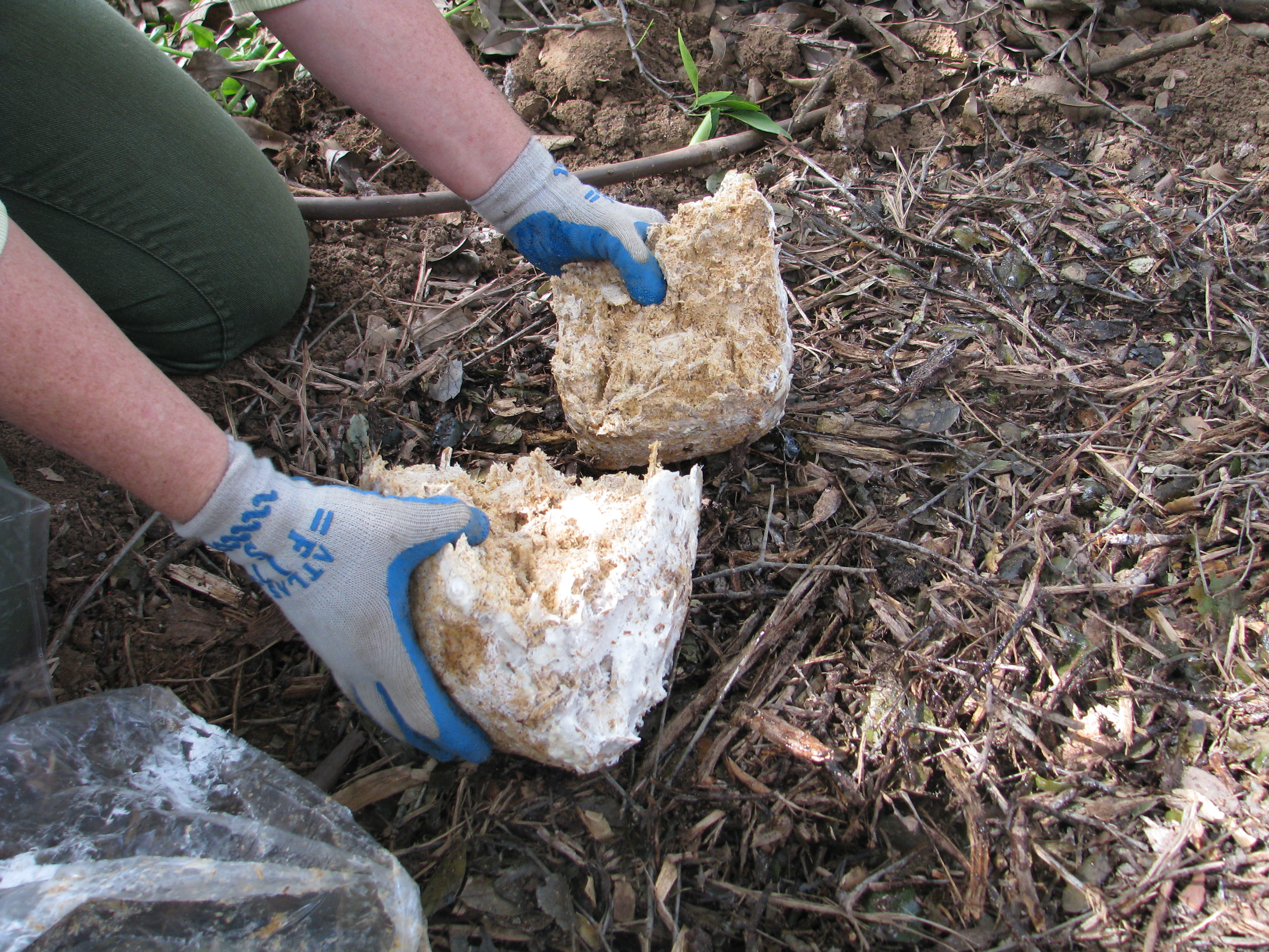 More Spores: Planting Garden Giant and Shaggy Mane Mushrooms ...