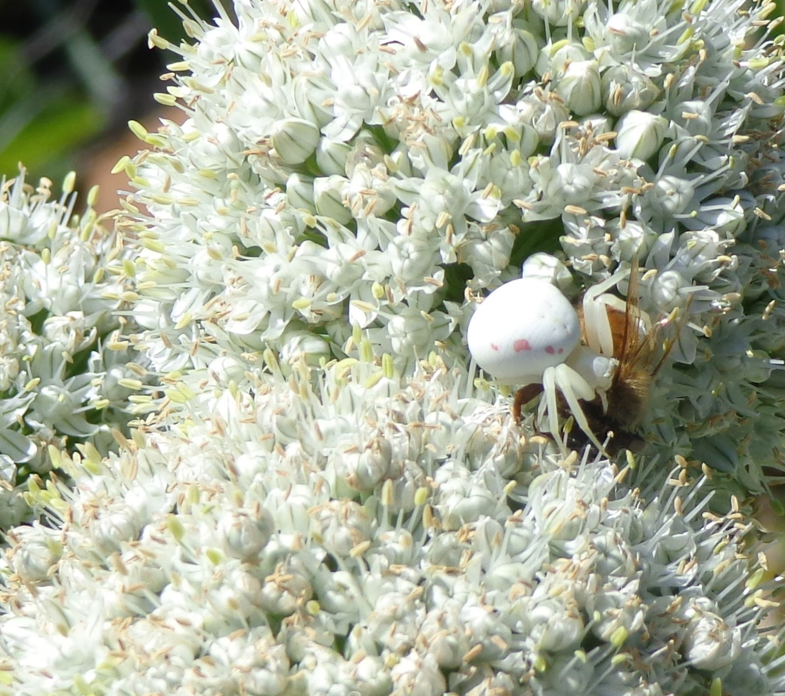 Growing Greener in the Pacific Northwest: Shallots and Bees. And spider.