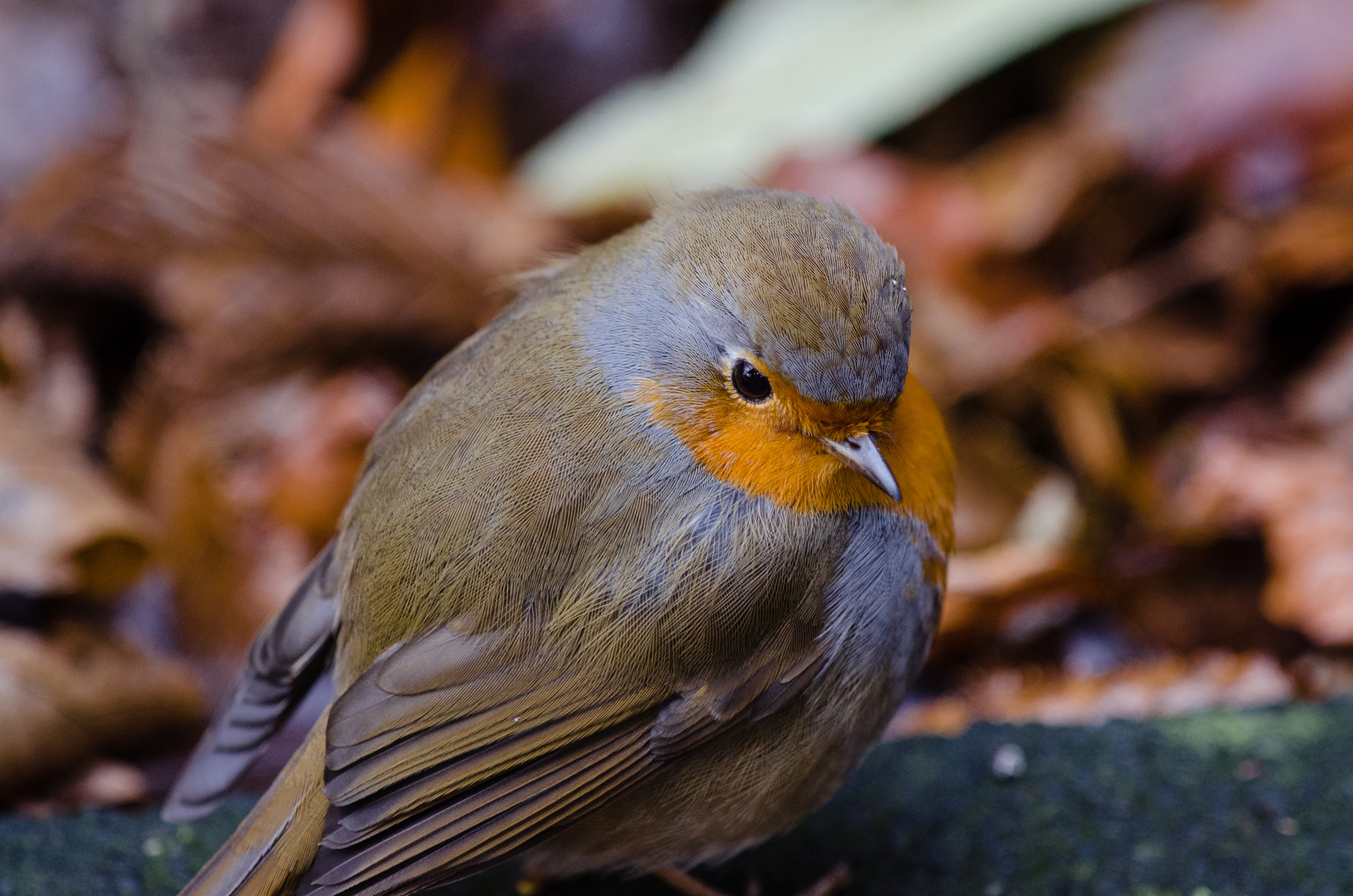 Shallow Focus Lens Shot of Gray Bird, Outdoors, Wood, Wings, Wildlife, HQ Photo