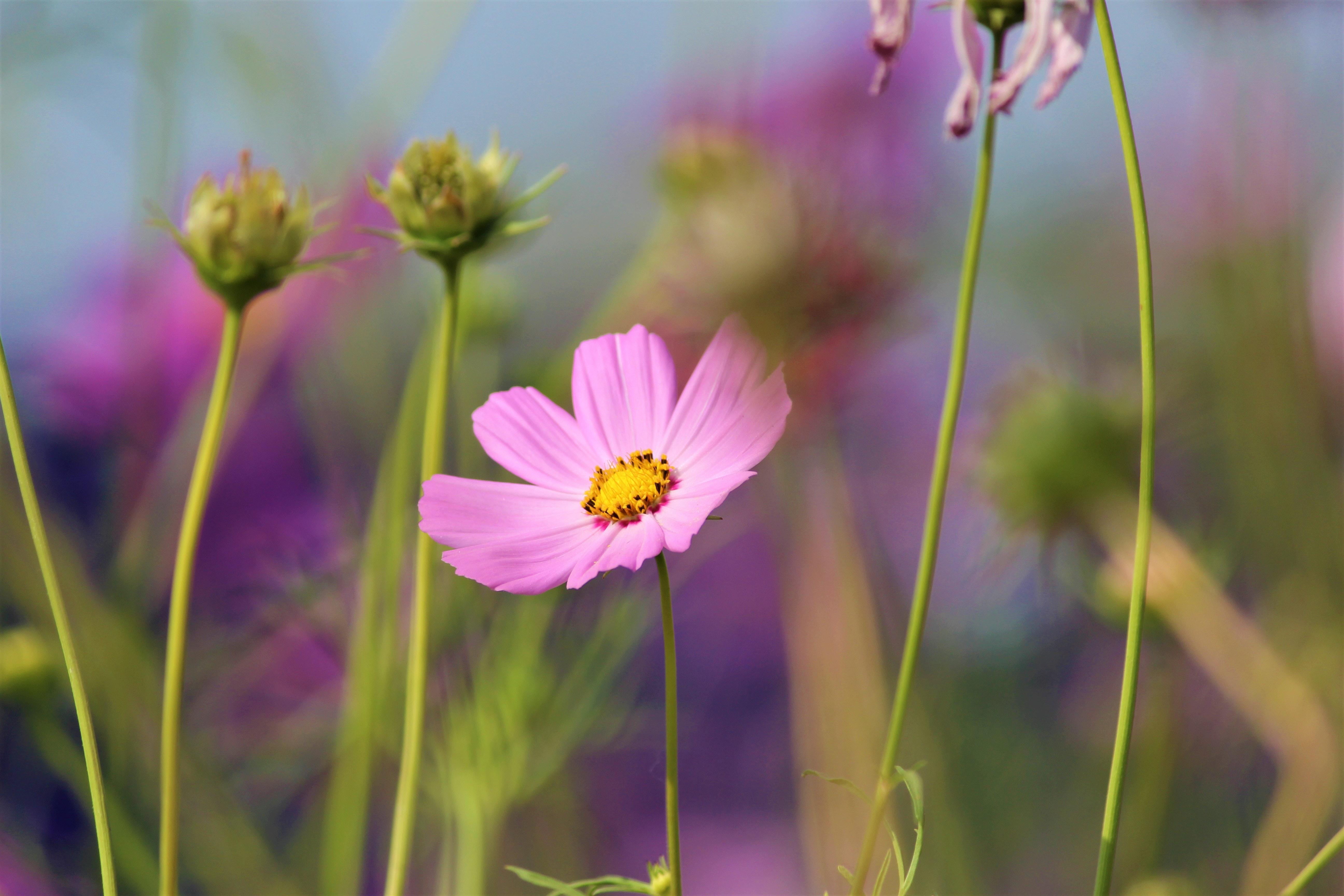 Shallow Focus Photography of Pink Flower, Beautiful, Grass, Summer, Stems, HQ Photo