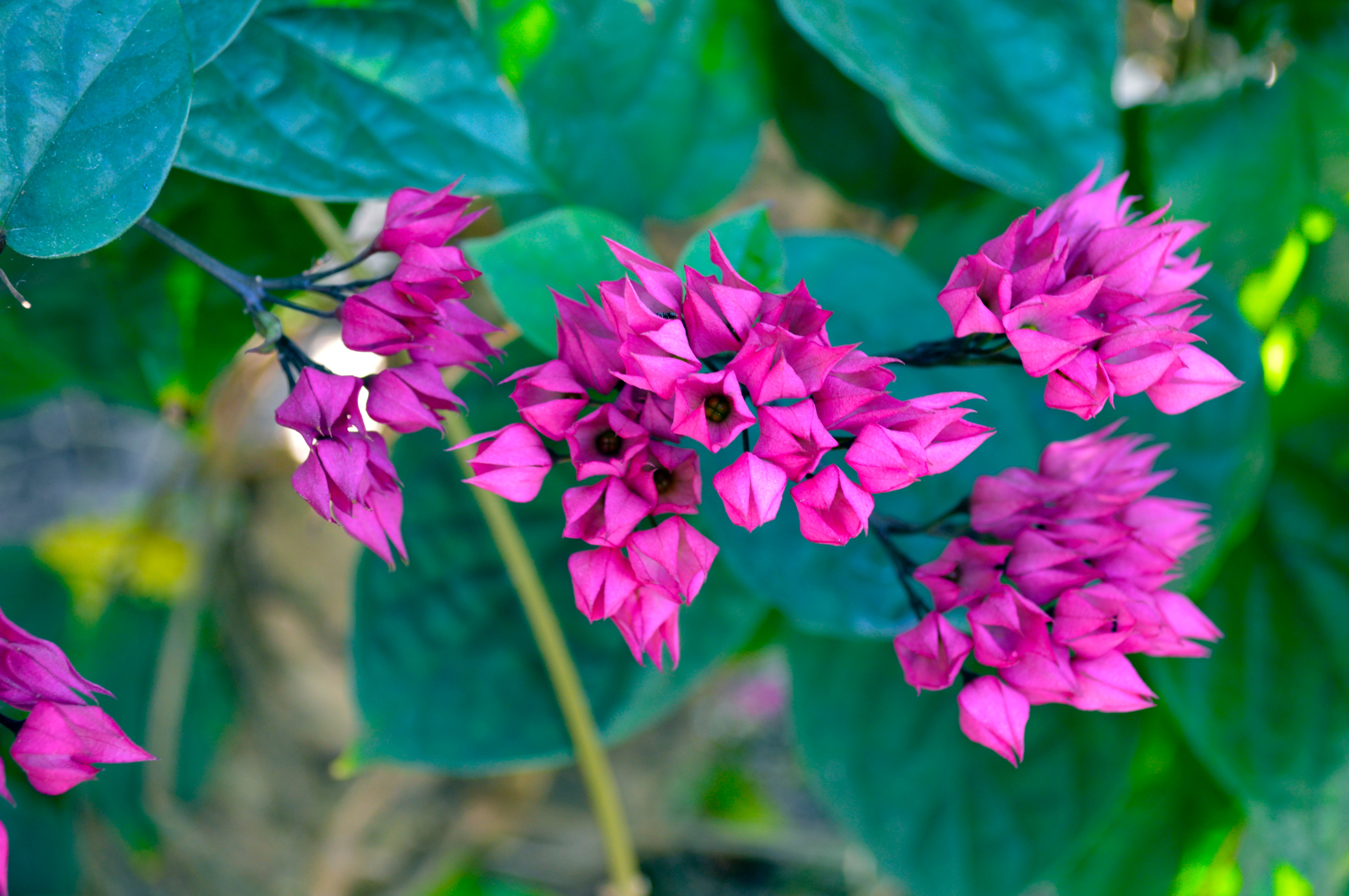 Free Photo Shallow Focus Photography Of Pink Flowers Leaves