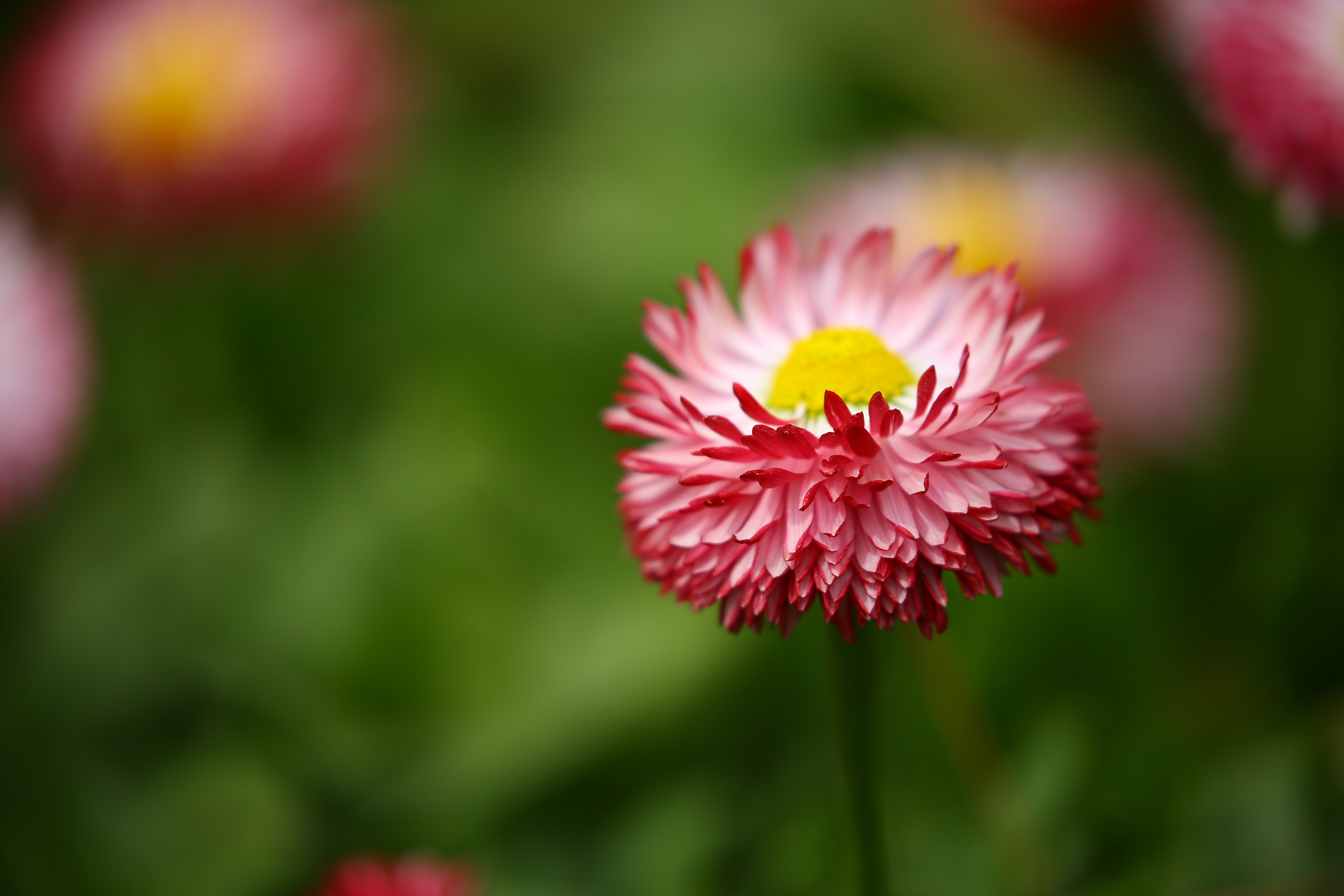 Shallow Focus Photography of Pink Flowers, Beautiful, Flowers, Spring, Purple, HQ Photo