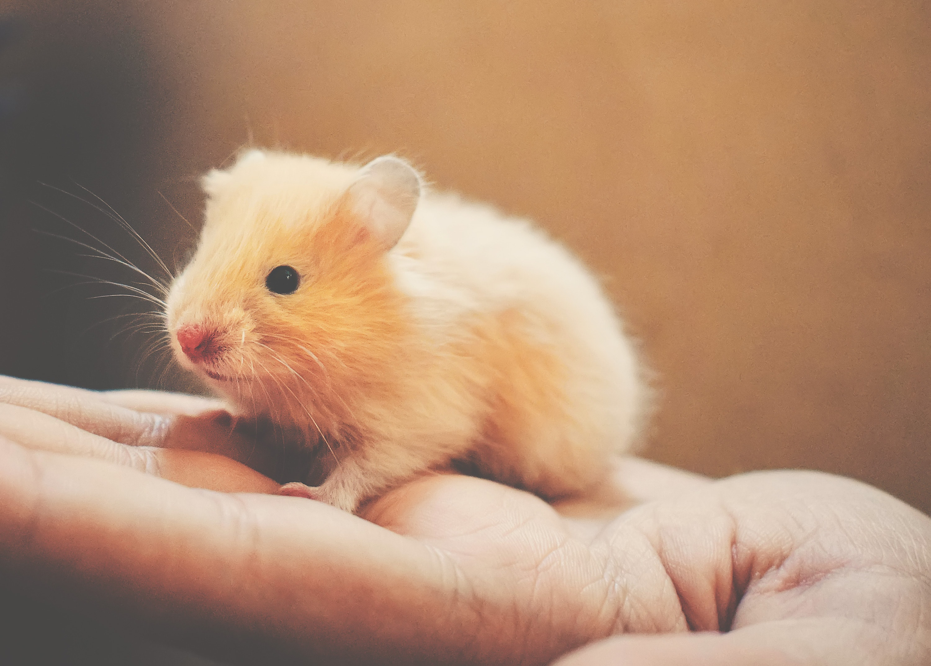 Shallow focus photography of white rodent