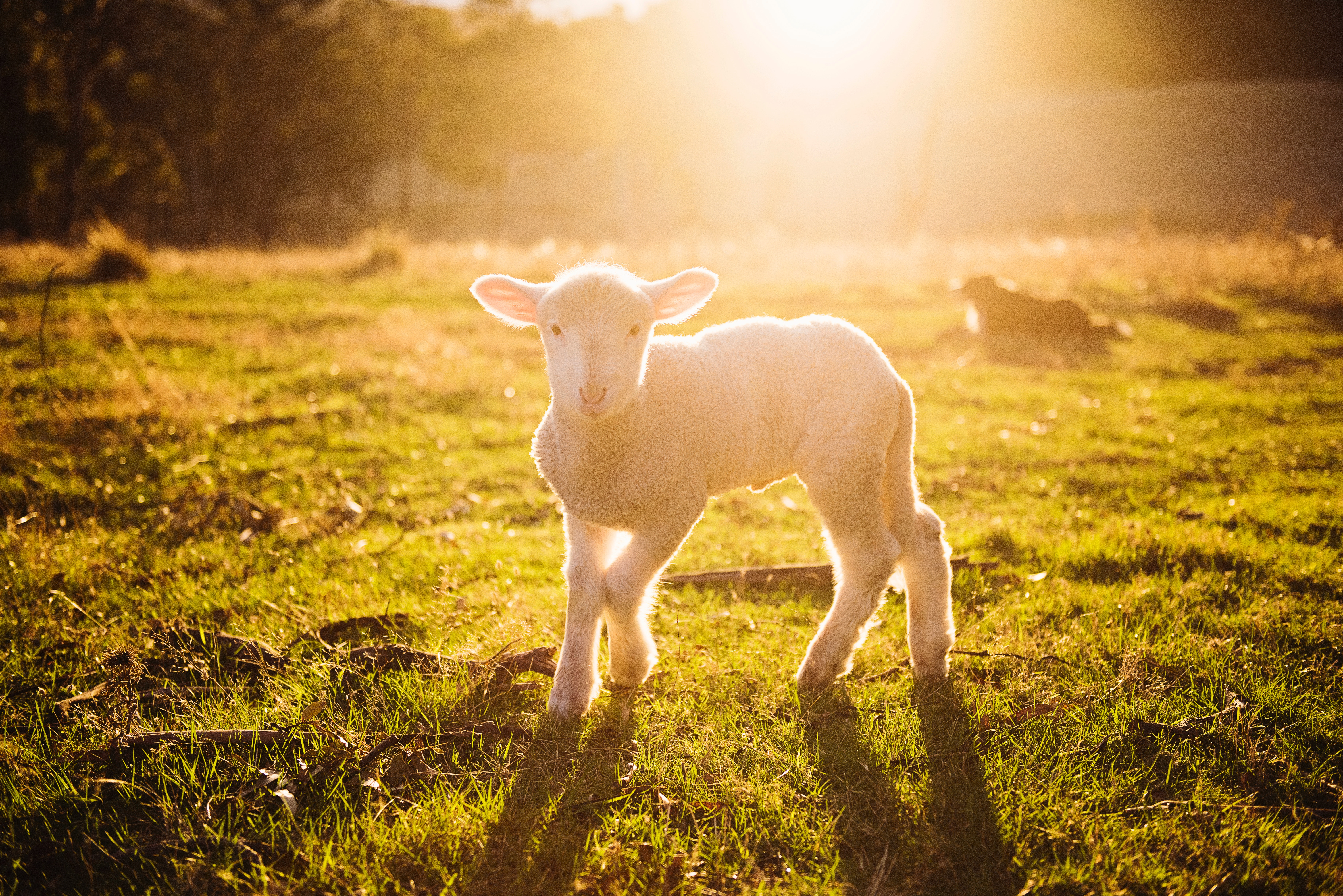 Shallow focus photography of white sheep on green grass