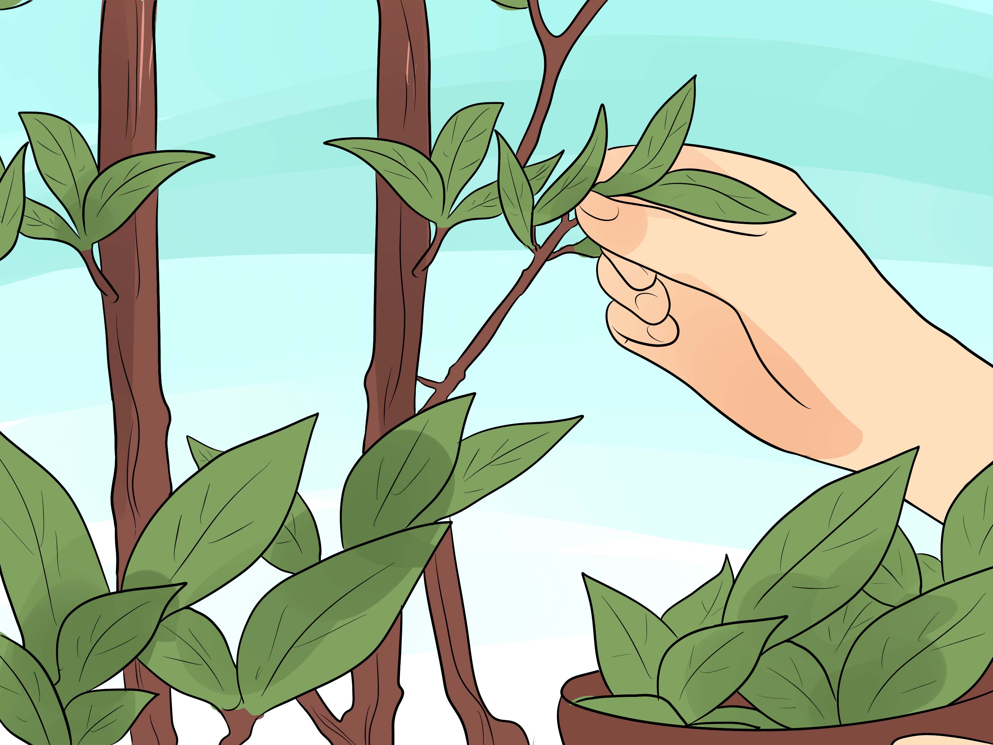 How to Grow a Bay Tree: 7 Steps (with Pictures) - wikiHow
