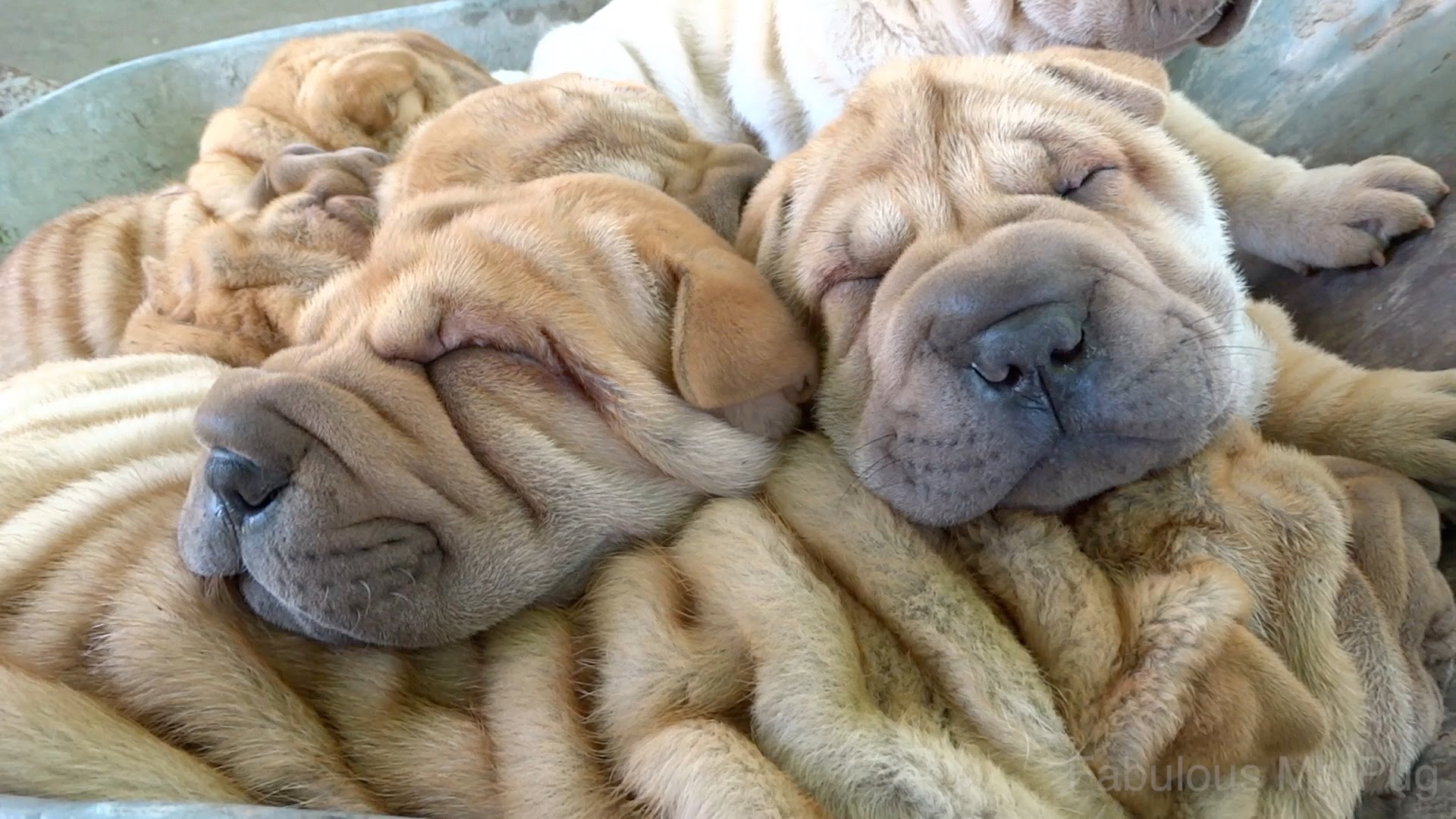 Shar Pei Puppies Ride in a Cart - Ride of the Valkyries - YouTube