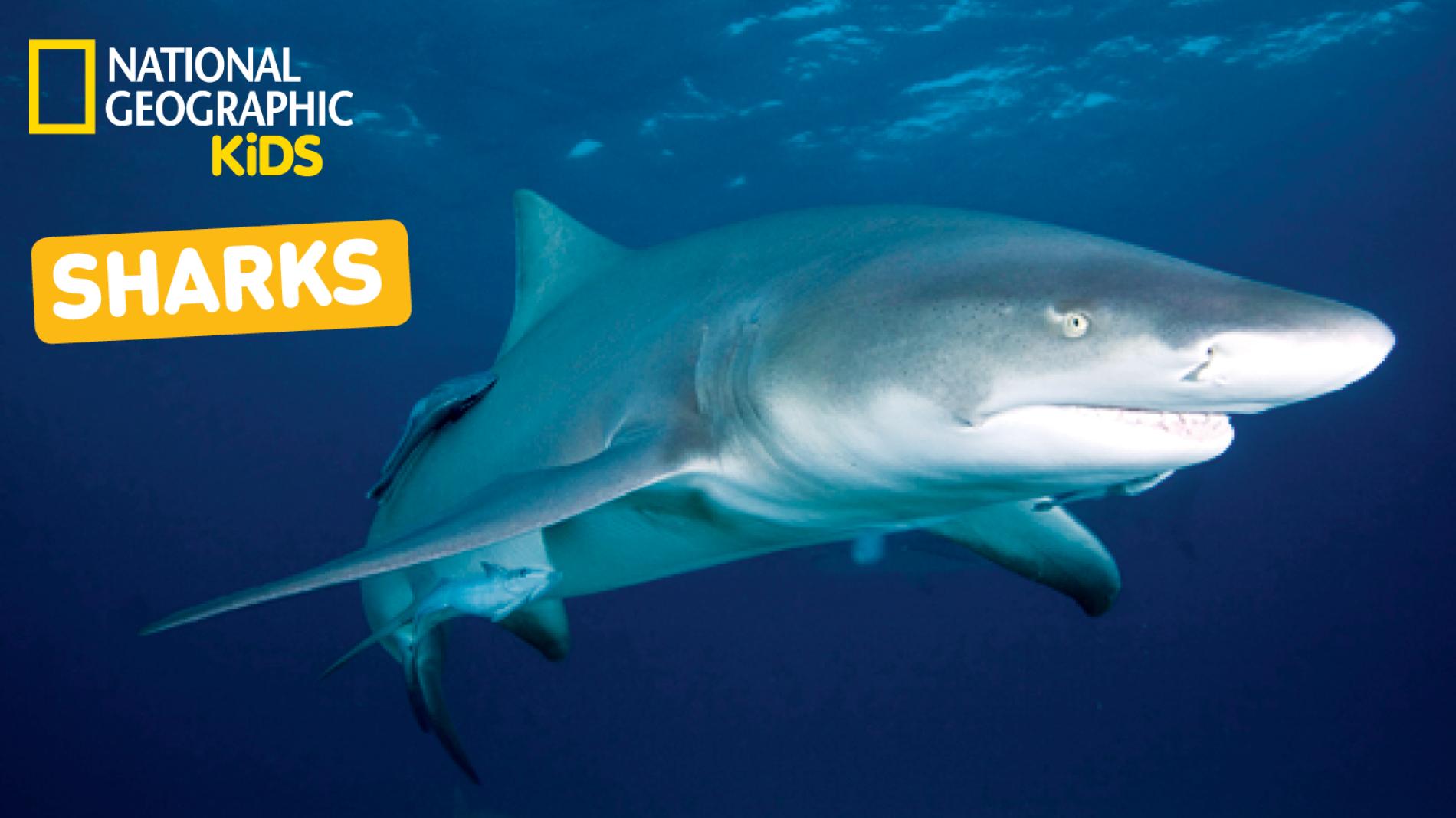 Nat Geo Kids on YouTube: Sharks Playlist