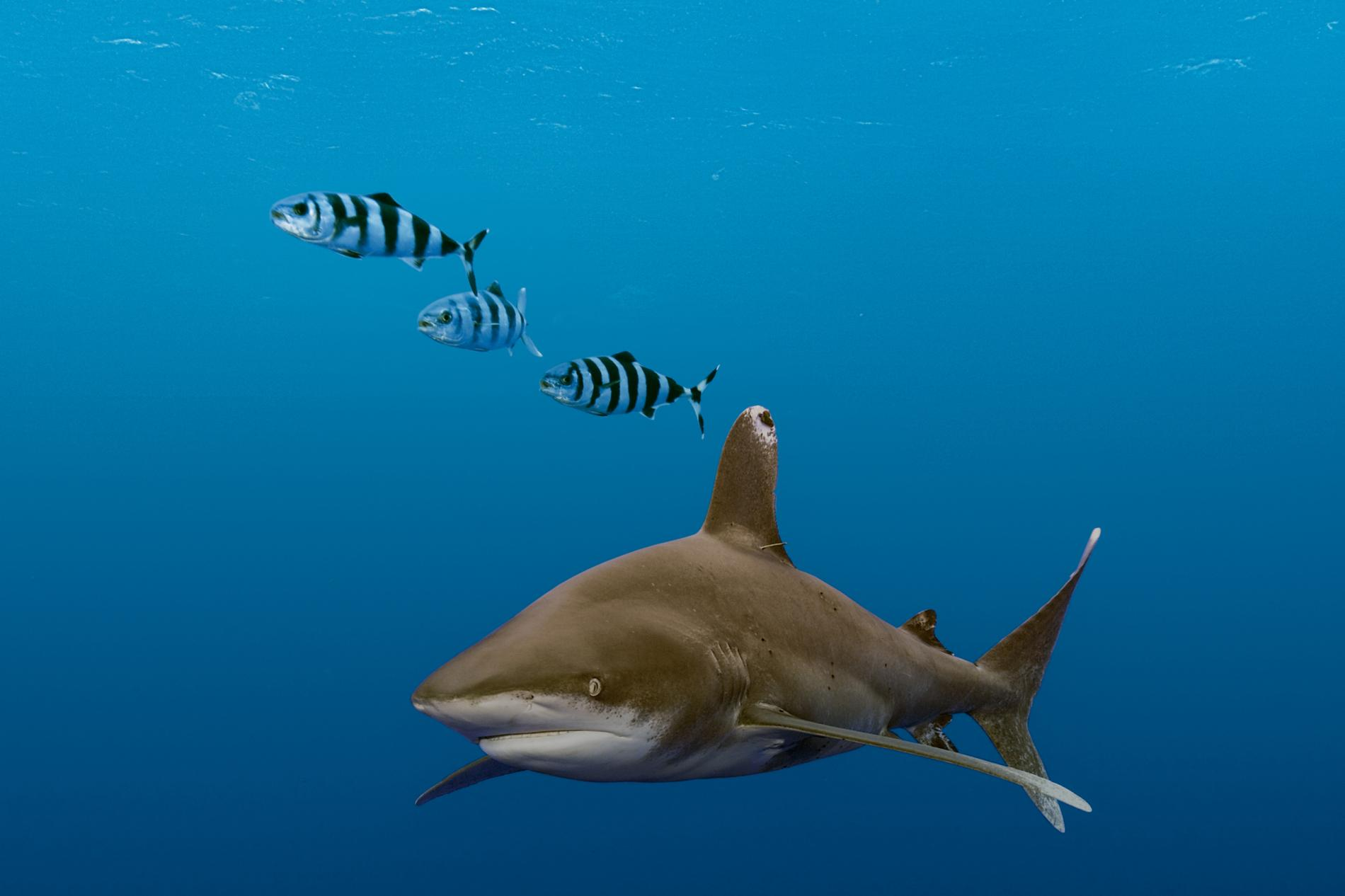 Oceanic Whitetip Sharks Once Ruled the Seas. Now Their Population Is ...