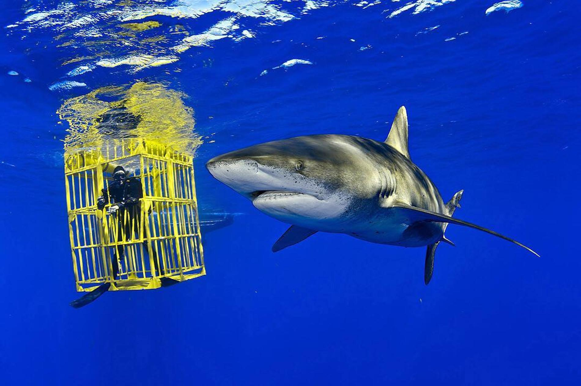 Why Video of Shark in Diver Cage May Show Positive Trend for Shark ...