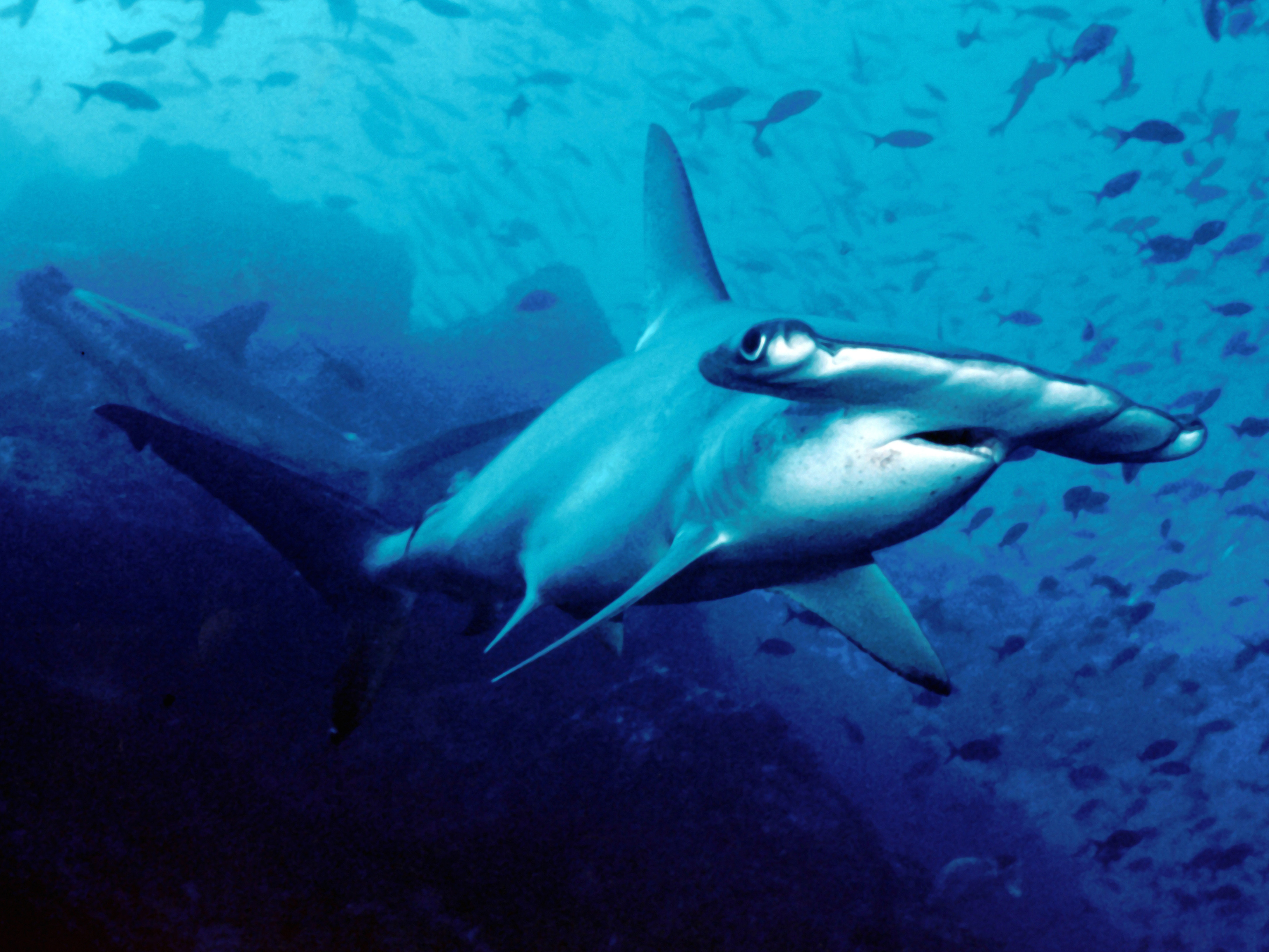 Costa Rica issues 1-year moratorium on export of hammerhead shark ...