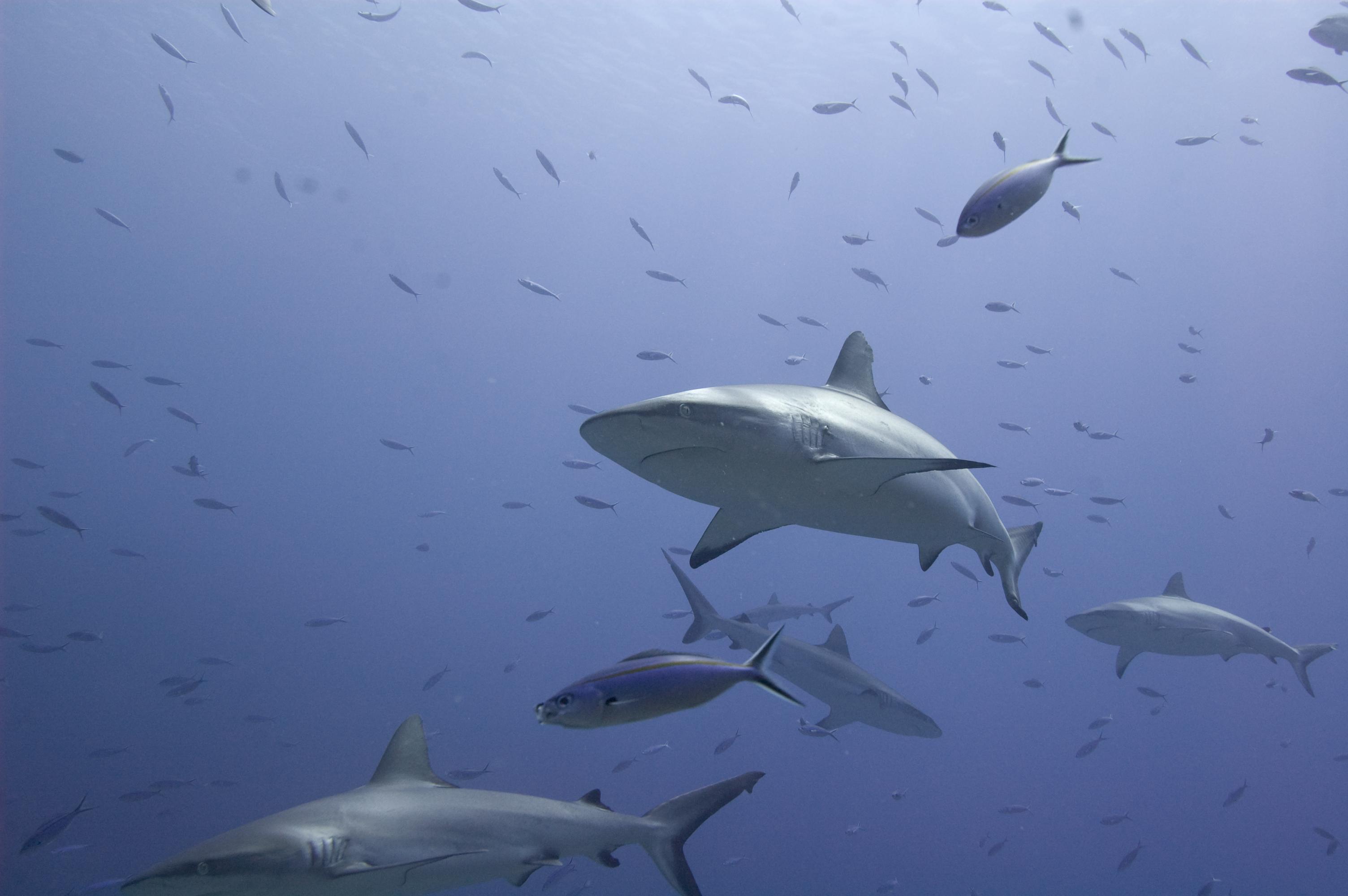 Sharks 1, Con2011, Fiji, Shark, Underwater, HQ Photo