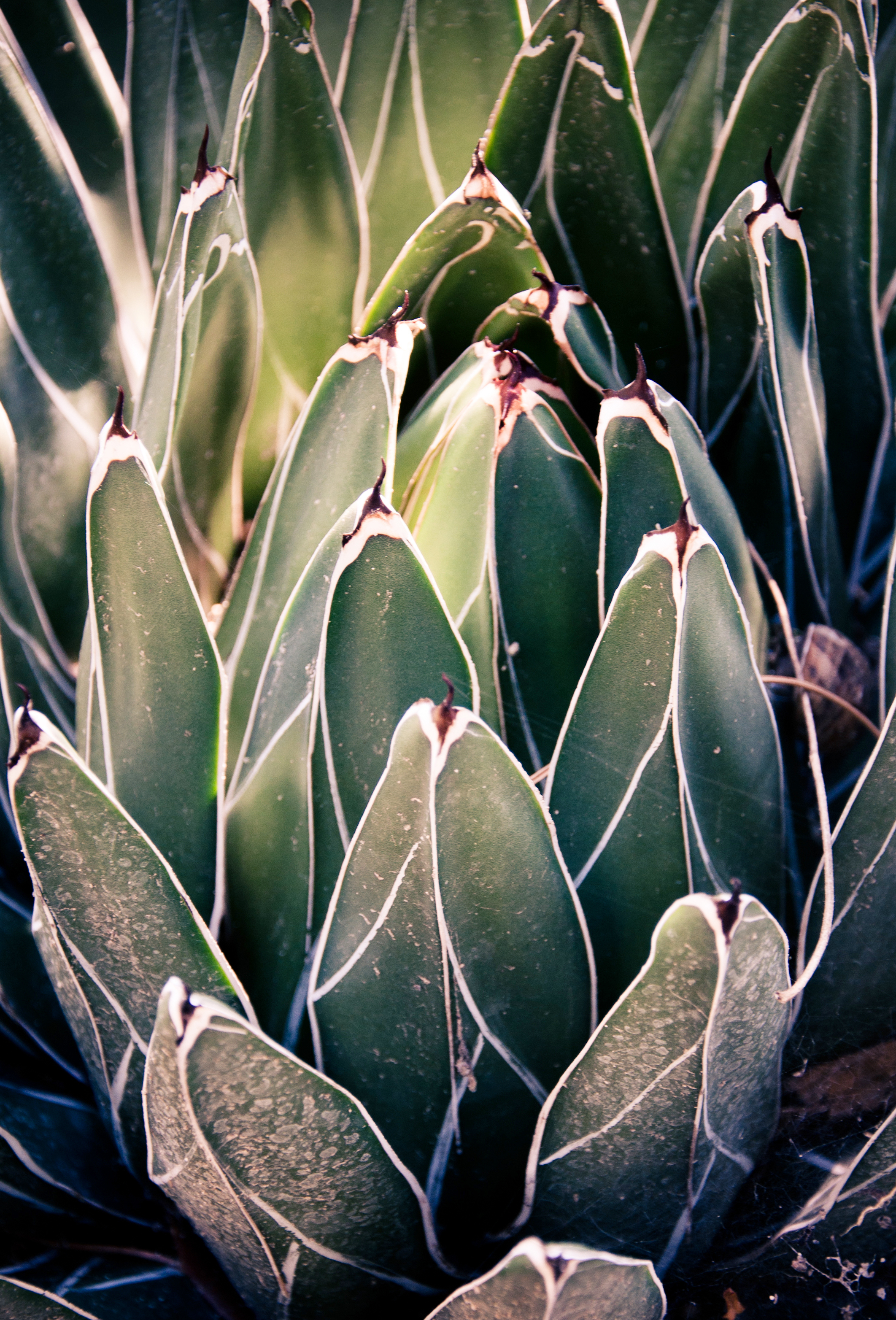 Sharp pointed agave cactus, Agave, Single, Mojave, Natural, HQ Photo