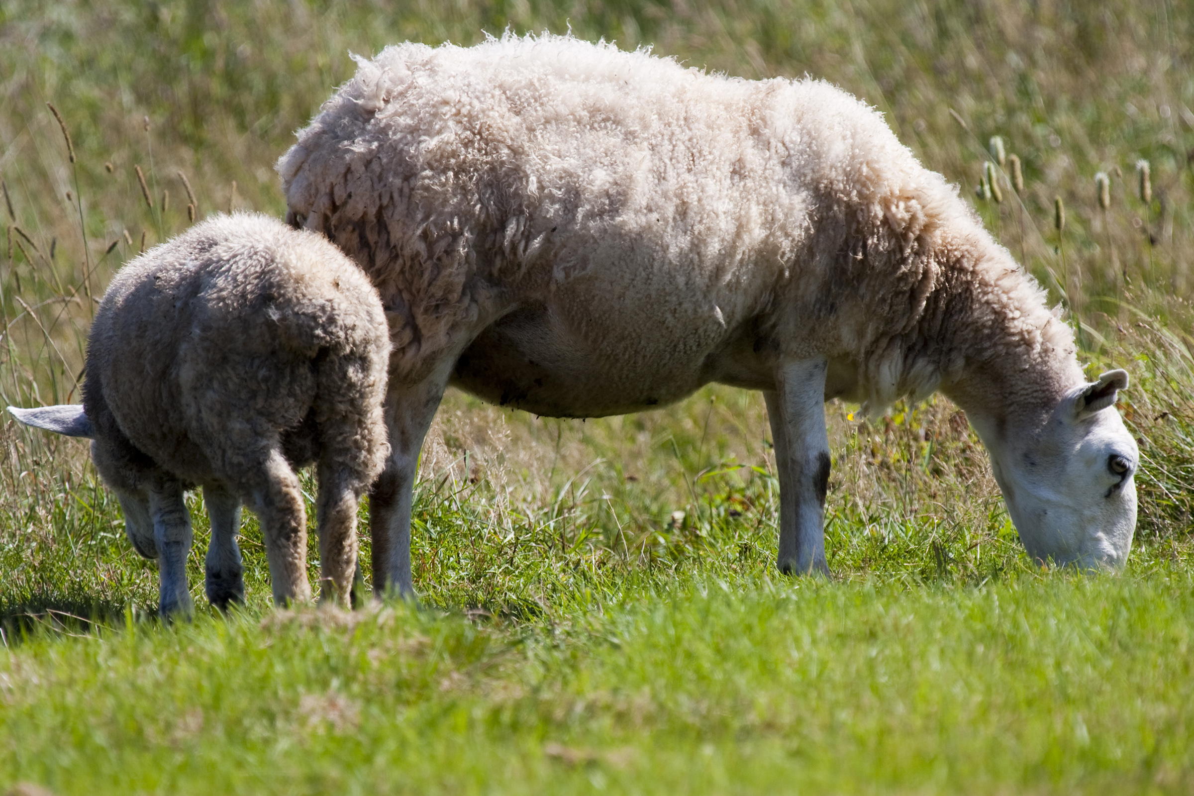 Sheep, Agriculture, Lamb, Springtime, Spring, HQ Photo