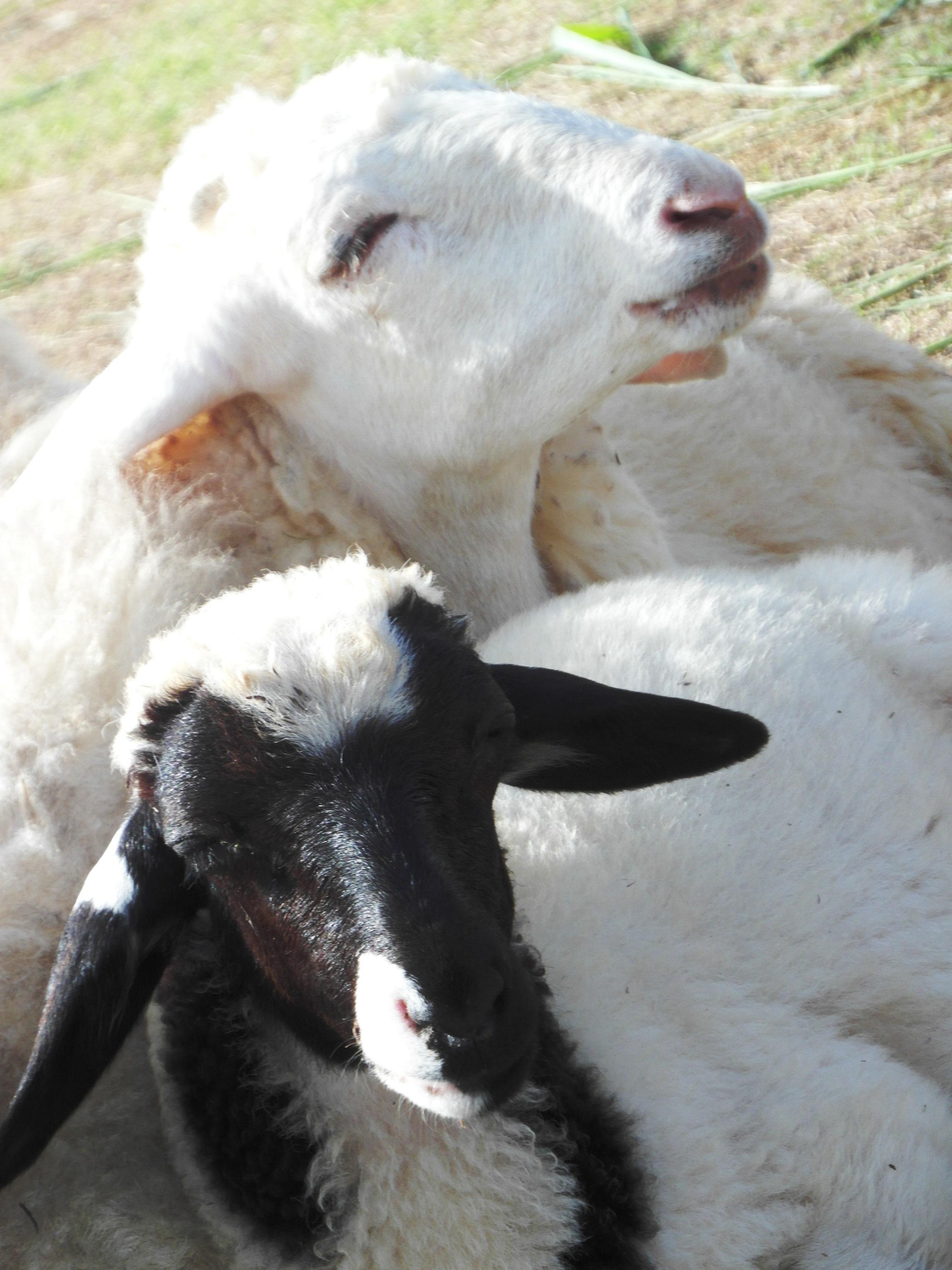 Sheep, Animal, Eating, Farm, Feeding, HQ Photo