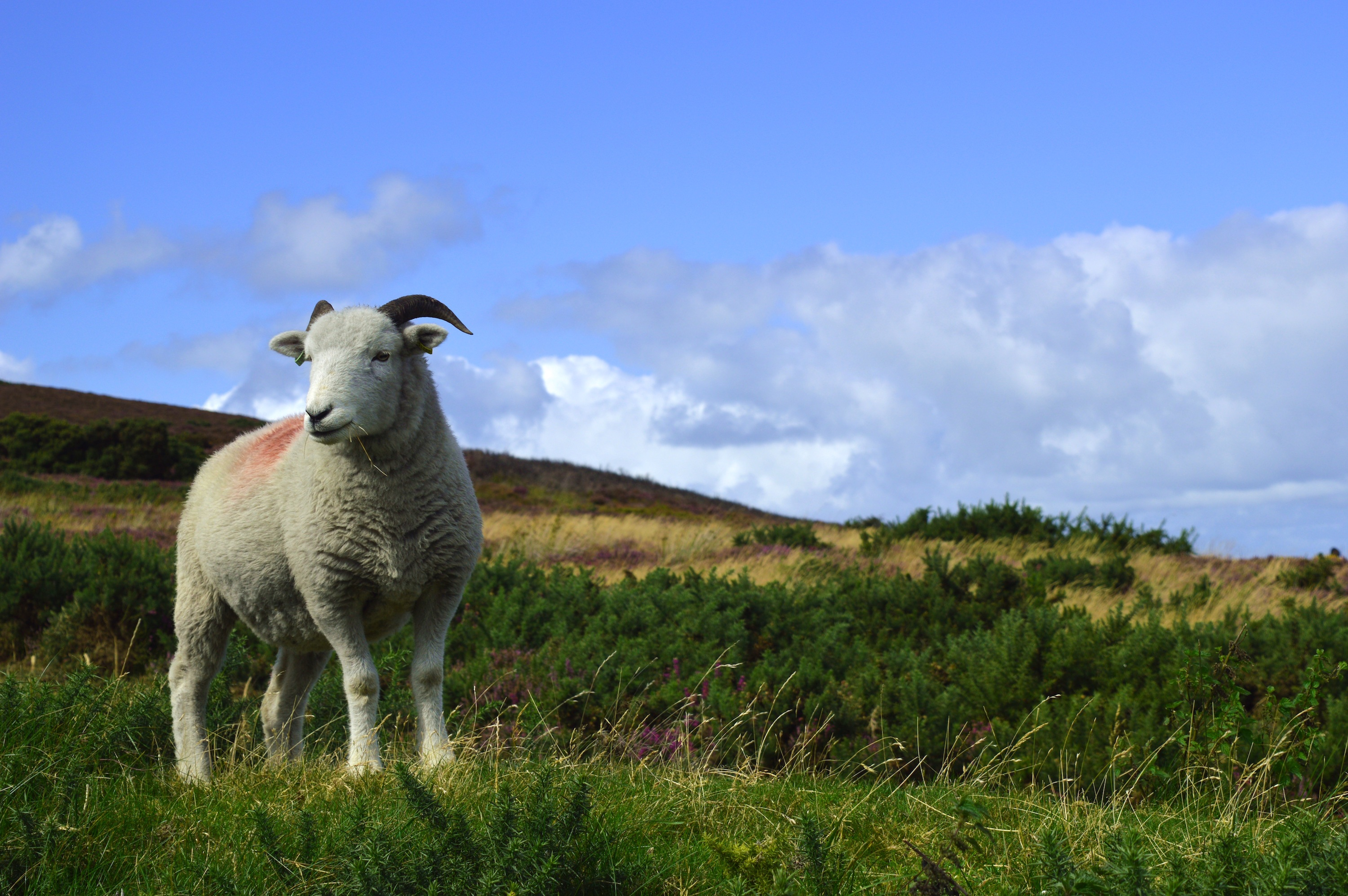 Sheep, Animal, Pet, White, Wild, HQ Photo