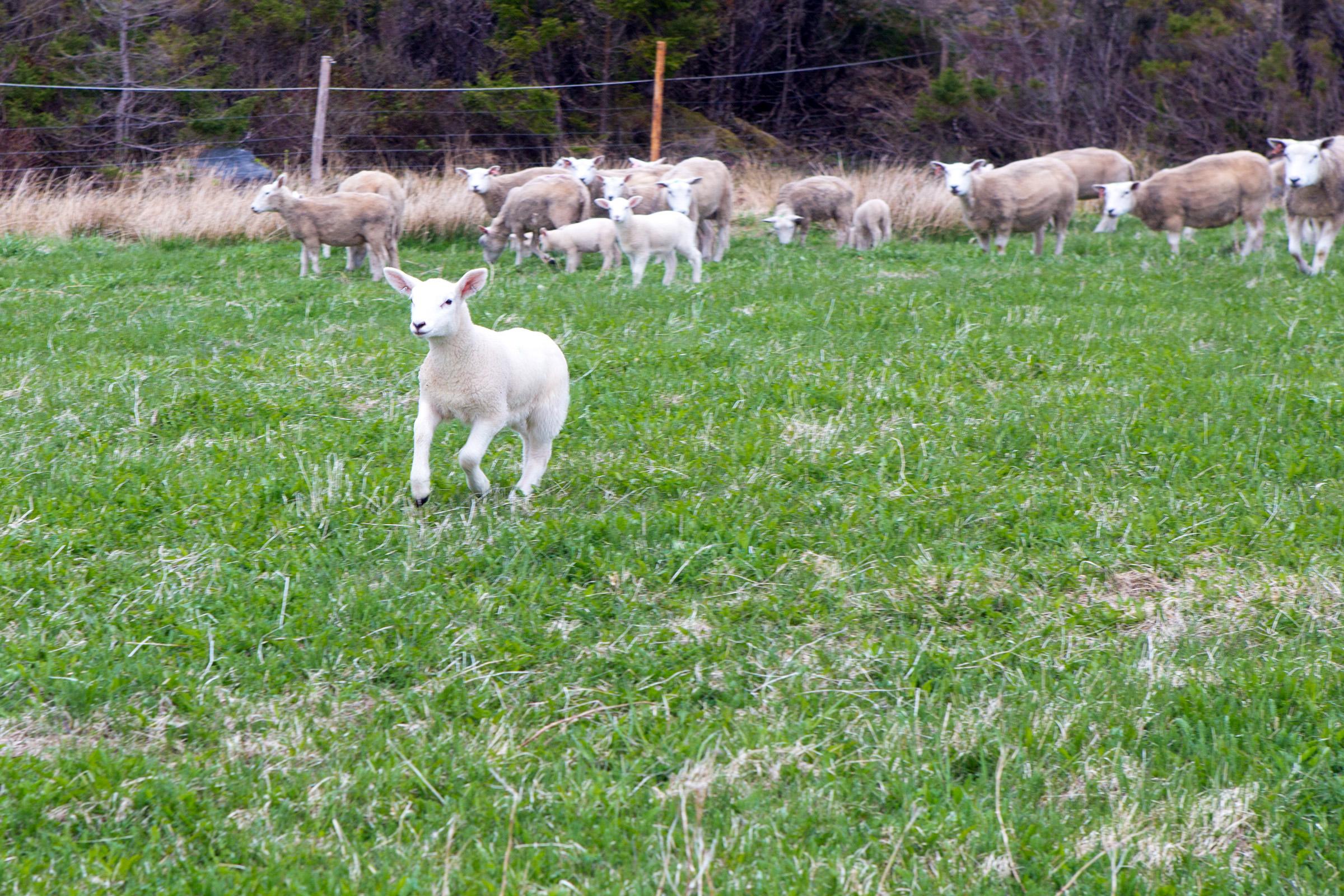 Sheep, Affectionate, New, Love, Mammal, HQ Photo